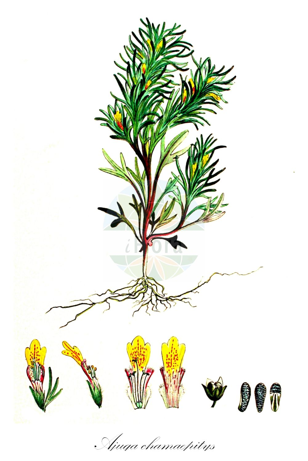 Historische Abbildung von Ajuga chamaepitys (Gelber Guensel - Ground-pine). Das Bild zeigt Blatt, Bluete, Frucht und Same. ---- Historical Drawing of Ajuga chamaepitys (Gelber Guensel - Ground-pine).The image is showing leaf, flower, fruit and seed.(Ajuga chamaepitys,Gelber Guensel,Ground-pine,Bugula chamaepithys,Bulga chamaepitys,Chamaepitys vulgaris,Teucrium chamaepitys,Acker-Guensel,Schlagkraeutlein,Yellow Bugle,Ajuga,Guensel,Bugle,Lamiaceae,Lippenbluetengewaechse;Lippenbluetler,Nettle family,Blatt,Bluete,Frucht,Same,leaf,flower,fruit,seed,Kops (1800-1934))