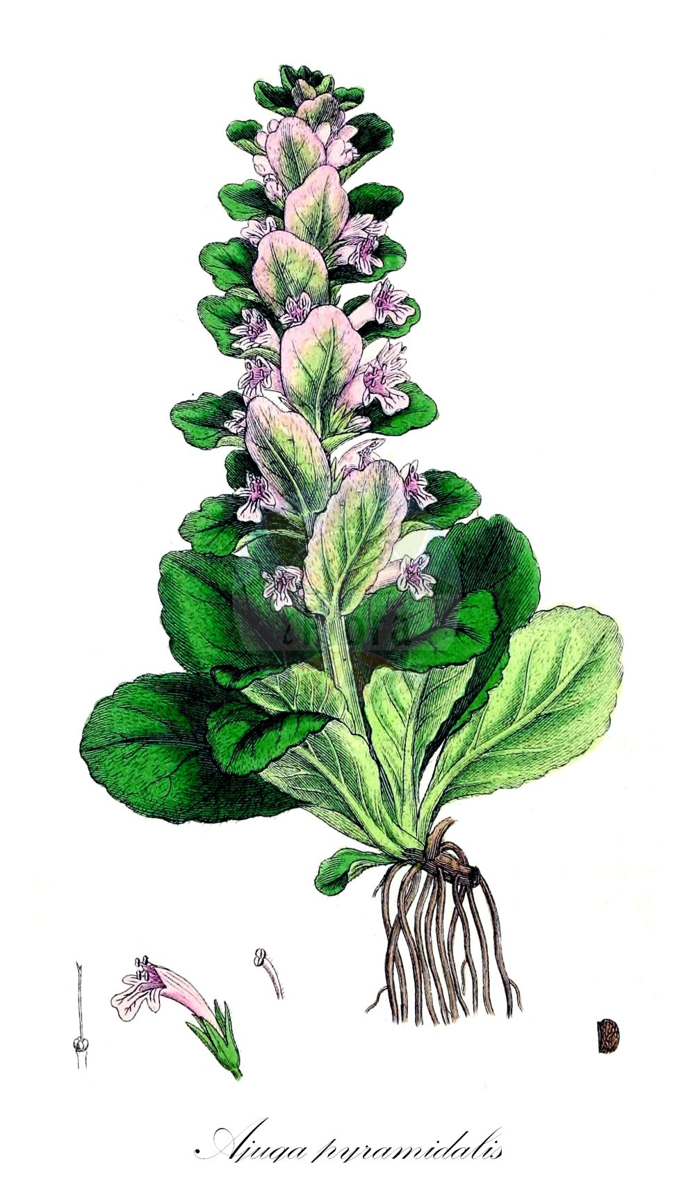 Historische Abbildung von Ajuga pyramidalis (Pyramiden-Guensel - Pyramidal Bugle). Das Bild zeigt Blatt, Bluete, Frucht und Same. ---- Historical Drawing of Ajuga pyramidalis (Pyramiden-Guensel - Pyramidal Bugle).The image is showing leaf, flower, fruit and seed.(Ajuga pyramidalis,Pyramiden-Guensel,Pyramidal Bugle,Bugula pyramidalis,Bulga pyramidalis,Teucrium pyramidale,Limestone Bugle,Ajuga,Guensel,Bugle,Lamiaceae,Lippenbluetengewaechse;Lippenbluetler,Nettle family,Blatt,Bluete,Frucht,Same,leaf,flower,fruit,seed,Sowerby (1790-1813))