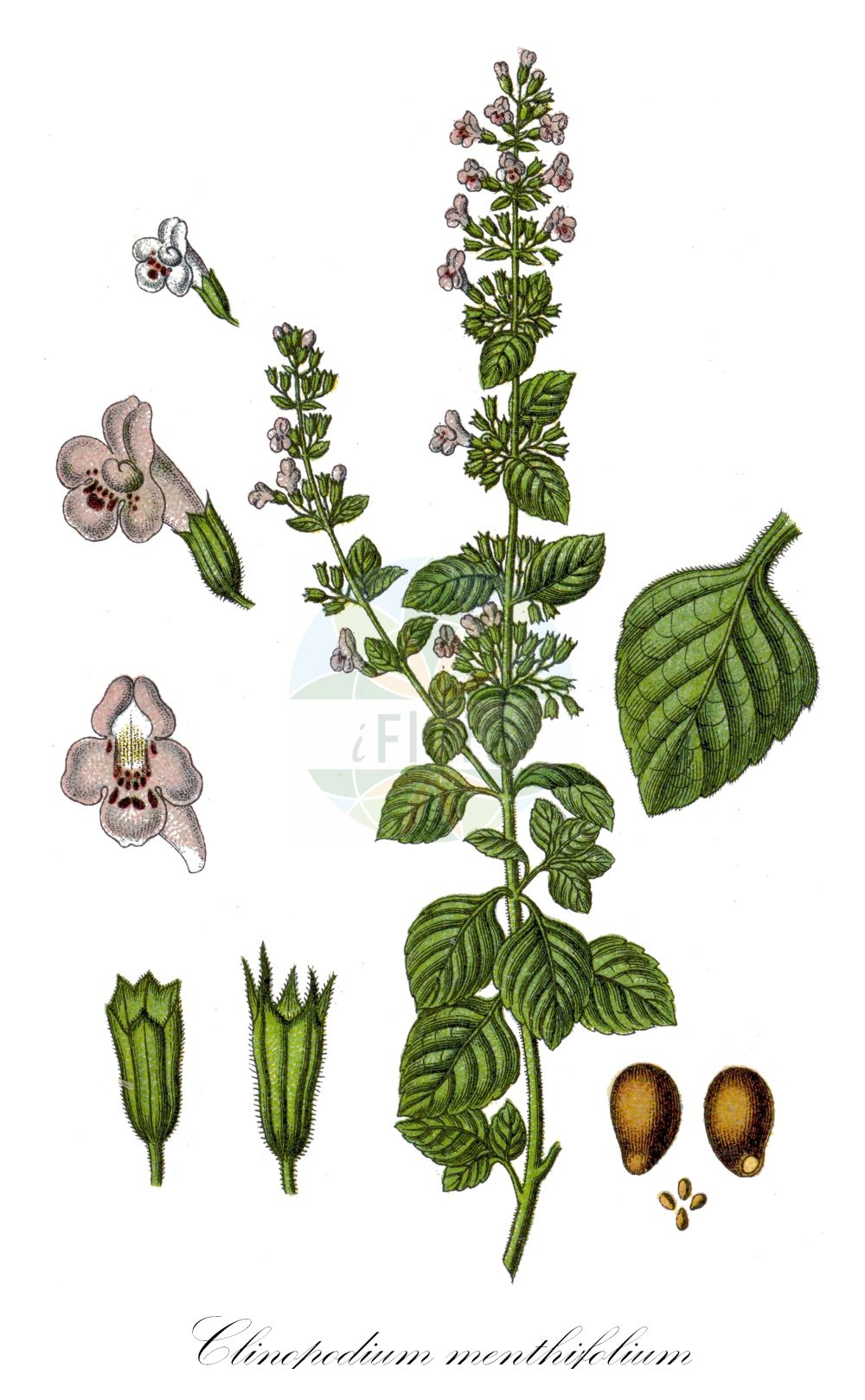 Historische Abbildung von Clinopodium menthifolium (Wald-Bergminze - Wood Calamint). Das Bild zeigt Blatt, Bluete, Frucht und Same. ---- Historical Drawing of Clinopodium menthifolium (Wald-Bergminze - Wood Calamint).The image is showing leaf, flower, fruit and seed.(Clinopodium menthifolium,Wald-Bergminze,Wood Calamint,Calamintha menthifolia,Calamintha officinalis,Satureja menthifolia,Woodland Calamint,Clinopodium,Wirbeldost,Calamint,Lamiaceae,Lippenbluetengewaechse;Lippenbluetler,Nettle family,Blatt,Bluete,Frucht,Same,leaf,flower,fruit,seed,Sturm (1796f))