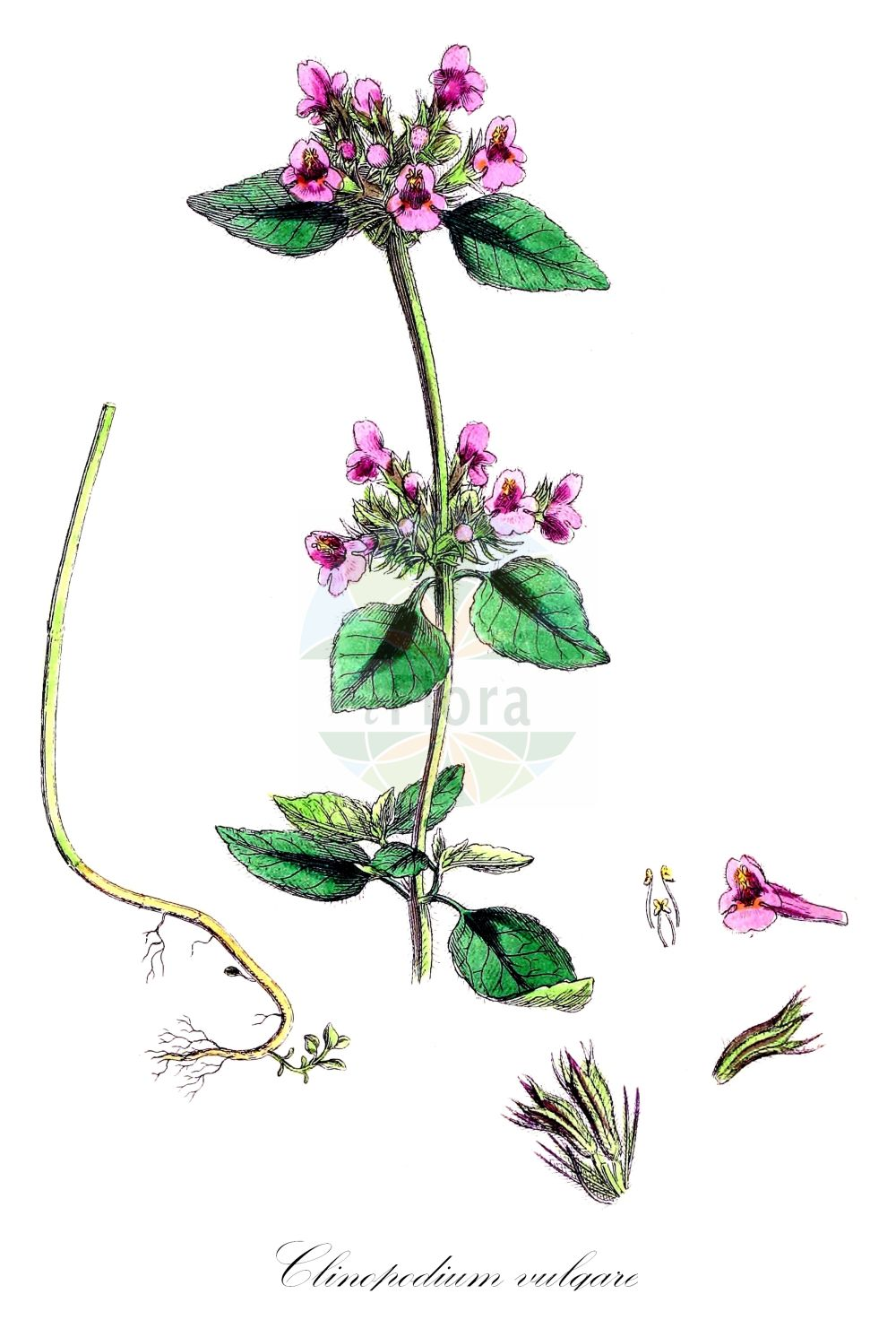 Historische Abbildung von Clinopodium vulgare (Wirbeldost - Wild Basil). Das Bild zeigt Blatt, Bluete, Frucht und Same. ---- Historical Drawing of Clinopodium vulgare (Wirbeldost - Wild Basil).The image is showing leaf, flower, fruit and seed.(Clinopodium vulgare,Wirbeldost,Wild Basil,Acinos vulgaris,Melissa clinopodium,Melissa vulgaris,Borstige Bergminze,Wirbelborste,Cushion Calamint,Wild Basi,Clinopodium,Wirbeldost,Calamint,Lamiaceae,Lippenbluetengewaechse;Lippenbluetler,Nettle family,Blatt,Bluete,Frucht,Same,leaf,flower,fruit,seed,Sowerby (1790-1813))