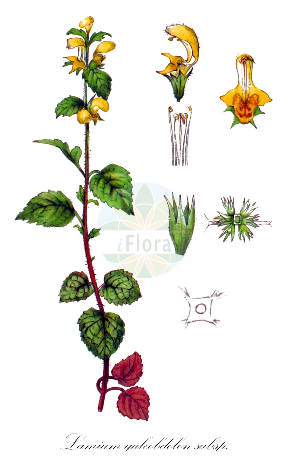 Historische Abbildung von Lamium galeobdolon subsp. galeobdolon (Echte Goldnessel - Yellow Archangel). Das Bild zeigt Blatt, Bluete, Frucht und Same. ---- Historical Drawing of Lamium galeobdolon subsp. galeobdolon (Echte Goldnessel - Yellow Archangel).The image is showing leaf, flower, fruit and seed.(Lamium galeobdolon subsp. galeobdolon,Echte Goldnessel,Yellow Archangel,Pollichia vulgaris,Gewoehnliche Goldnessel,Silber-Goldnessel,Aluminium Plant,Artillery Plant,Lamium,Taubnessel,Deadnettle,Lamiaceae,Lippenbluetengewaechse;Lippenbluetler,Nettle family,Blatt,Bluete,Frucht,Same,leaf,flower,fruit,seed,Kops (1800-1934))