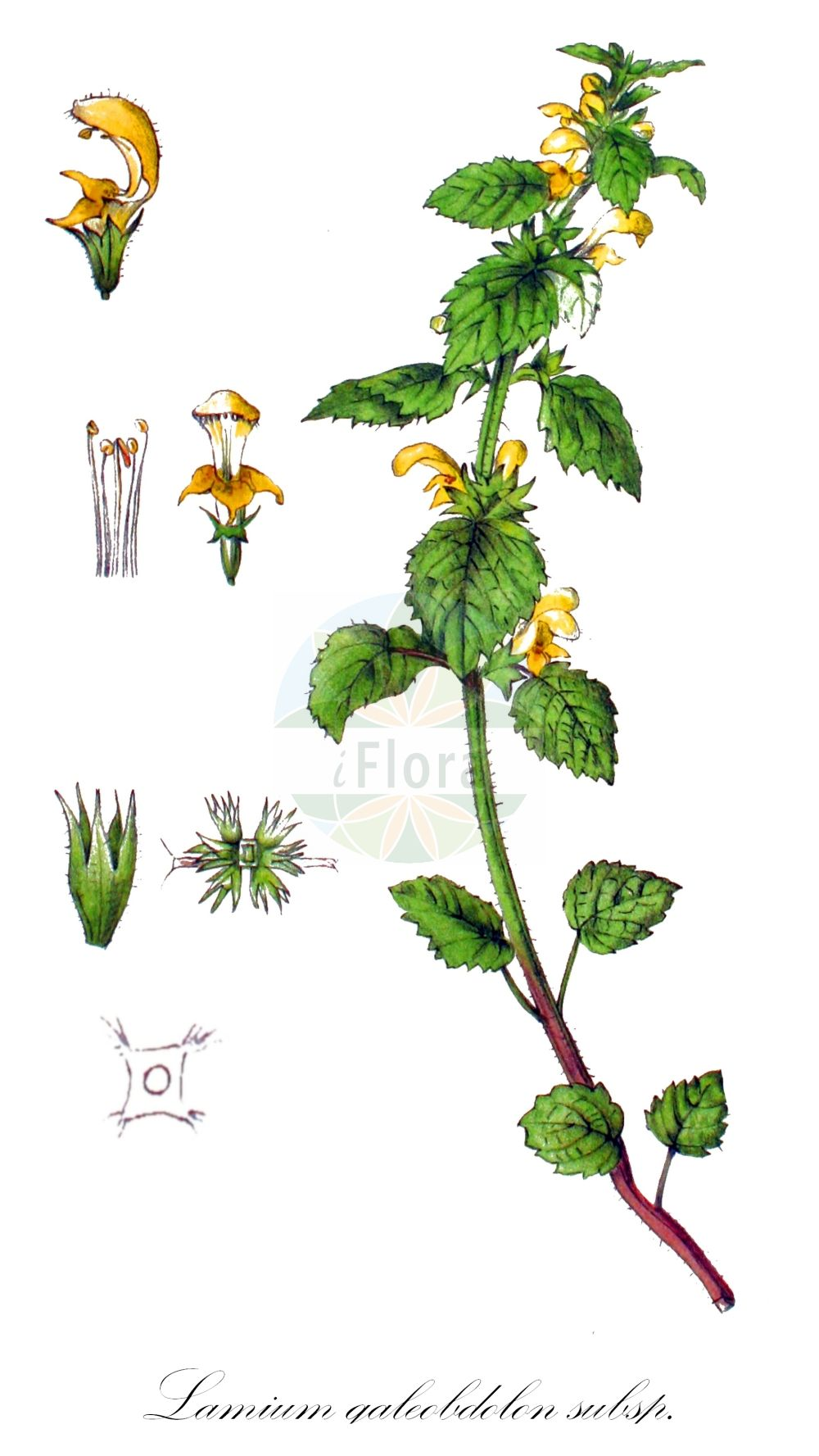 Historische Abbildung von Lamium galeobdolon subsp. montanum (Berg-Goldnessel - Mountain Archangel). Das Bild zeigt Blatt, Bluete, Frucht und Same. ---- Historical Drawing of Lamium galeobdolon subsp. montanum (Berg-Goldnessel - Mountain Archangel).The image is showing leaf, flower, fruit and seed.(Lamium galeobdolon subsp. montanum,Berg-Goldnessel,Mountain Archangel,Pollichia montana,Endtmanns Goldnessel,Lamium,Taubnessel,Deadnettle,Lamiaceae,Lippenbluetengewaechse;Lippenbluetler,Nettle family,Blatt,Bluete,Frucht,Same,leaf,flower,fruit,seed,Tackenberg)