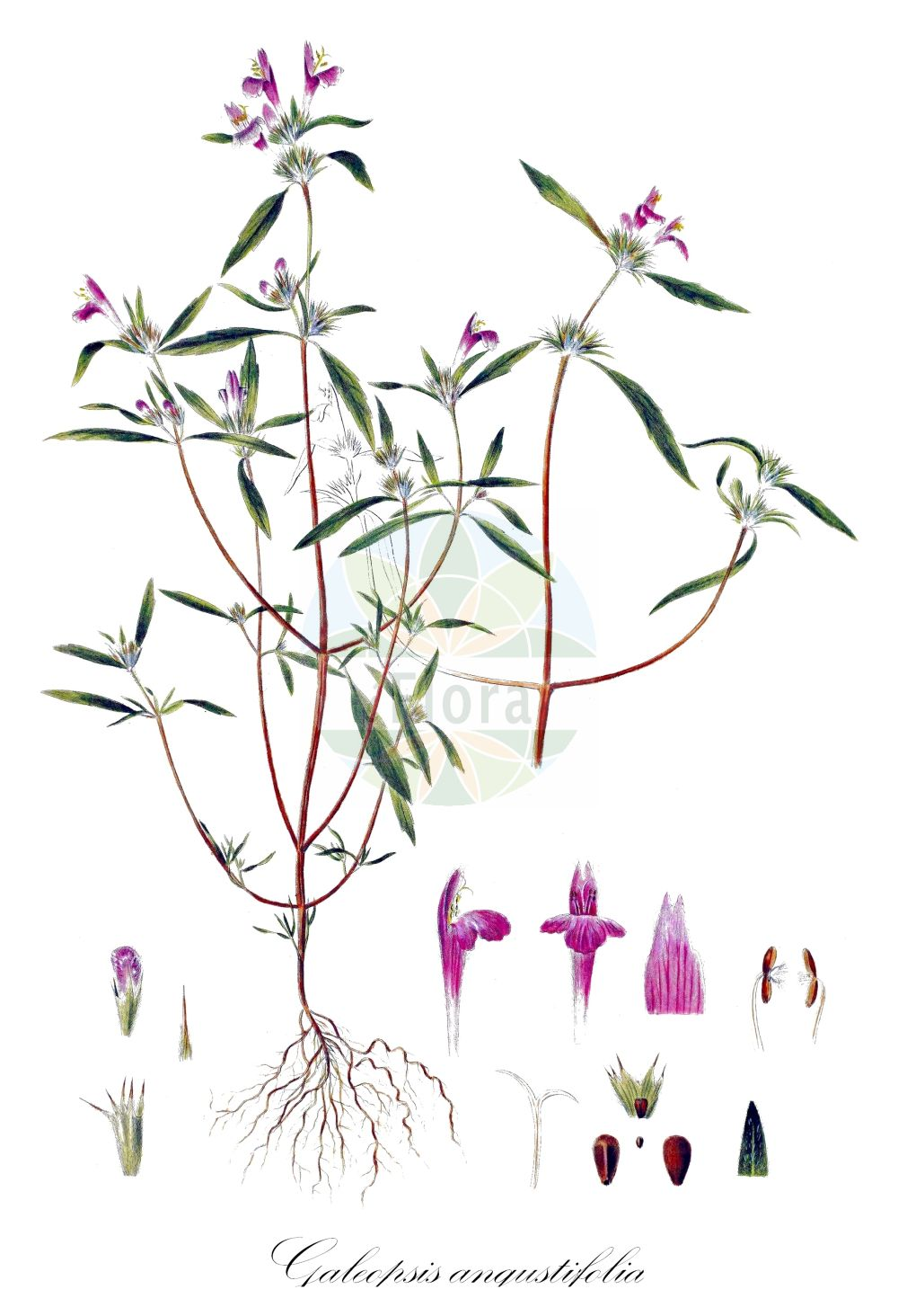 Historische Abbildung von Galeopsis angustifolia (Schmalblaettriger Hohlzahn - Red Hemp-nettle). Das Bild zeigt Blatt, Bluete, Frucht und Same. ---- Historical Drawing of Galeopsis angustifolia (Schmalblaettriger Hohlzahn - Red Hemp-nettle).The image is showing leaf, flower, fruit and seed.(Galeopsis angustifolia,Schmalblaettriger Hohlzahn,Red Hemp-nettle,Dalanum angustifolium,Ladanella angustifolia,Ladanum angustifolium,Narrow-leaved Hemp-Nettle,Narrowleaf Hempnettle,Lesser Hemp-nettle,Galeopsis,Hohlzahn,Hempnettle,Lamiaceae,Lippenbluetengewaechse;Lippenbluetler,Nettle family,Blatt,Bluete,Frucht,Same,leaf,flower,fruit,seed,Oeder (1761-1883))