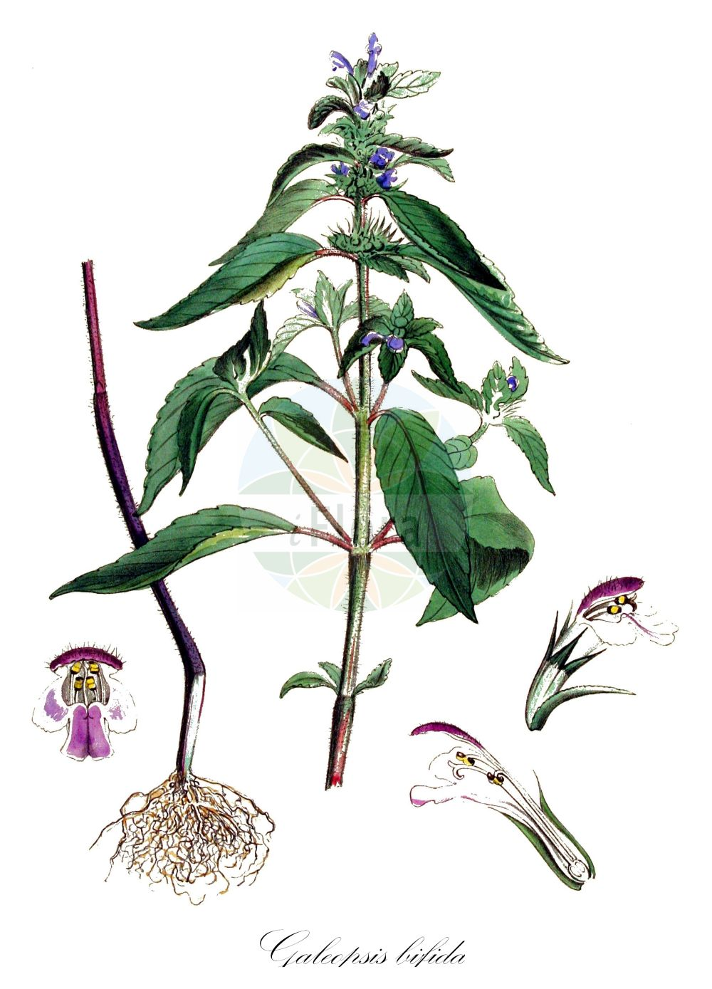 Historische Abbildung von Galeopsis bifida (Zweispaltiger Hohlzahn - Bifid Hemp-nettle). Das Bild zeigt Blatt, Bluete, Frucht und Same. ---- Historical Drawing of Galeopsis bifida (Zweispaltiger Hohlzahn - Bifid Hemp-nettle).The image is showing leaf, flower, fruit and seed.(Galeopsis bifida,Zweispaltiger Hohlzahn,Bifid Hemp-nettle,Galeopsis pallens,Galeopsis pernkofferi,Galeopsis tetrahit var. bifida,Kleinbluetiger Hohlzahn,Zweizipfeliger Hohlzahn,Splitlip Hempnettle,Galeopsis,Hohlzahn,Hempnettle,Lamiaceae,Lippenbluetengewaechse;Lippenbluetler,Nettle family,Blatt,Bluete,Frucht,Same,leaf,flower,fruit,seed,Kops (1800-1934))