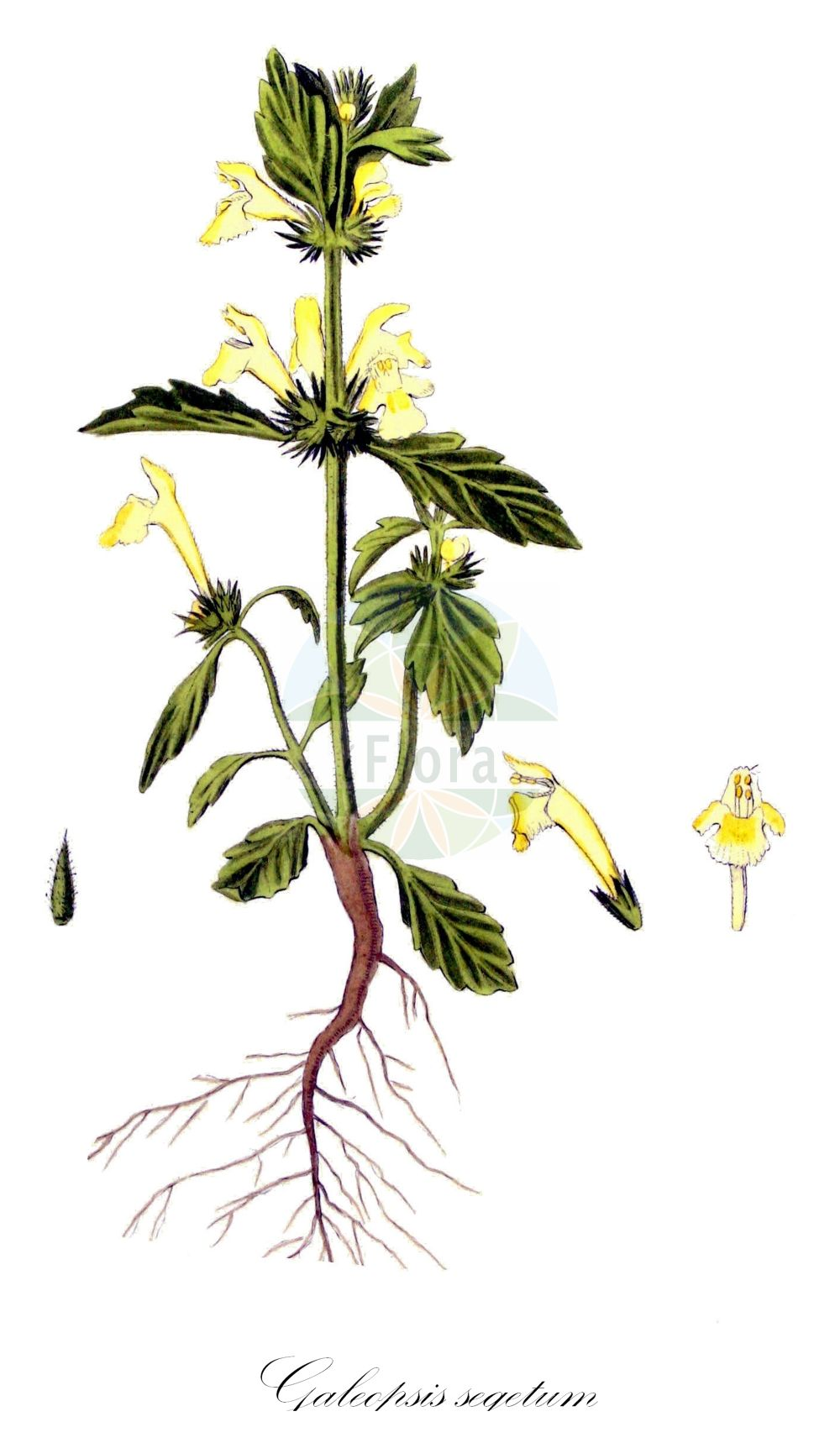 Historische Abbildung von Galeopsis segetum (Gelber Hohlzahn - Downy Hemp-nettle). Das Bild zeigt Blatt, Bluete, Frucht und Same. ---- Historical Drawing of Galeopsis segetum (Gelber Hohlzahn - Downy Hemp-nettle).The image is showing leaf, flower, fruit and seed.(Galeopsis segetum,Gelber Hohlzahn,Downy Hemp-nettle,Dalanum segetum,Galeopsis dubia,Galeopsis elegans,Galeopsis grandiflora,Galeopsis ochroleuca,Galeopsis villosa,Ladanella segetum,Ladanum dubium,Ladanum luteum,Ladanum ochroleucum,Tetrahit longiflorum,Saat-Hohlzahn,Yellow Hemp-nettle,Galeopsis,Hohlzahn,Hempnettle,Lamiaceae,Lippenbluetengewaechse;Lippenbluetler,Nettle family,Blatt,Bluete,Frucht,Same,leaf,flower,fruit,seed,Kops (1800-1934))