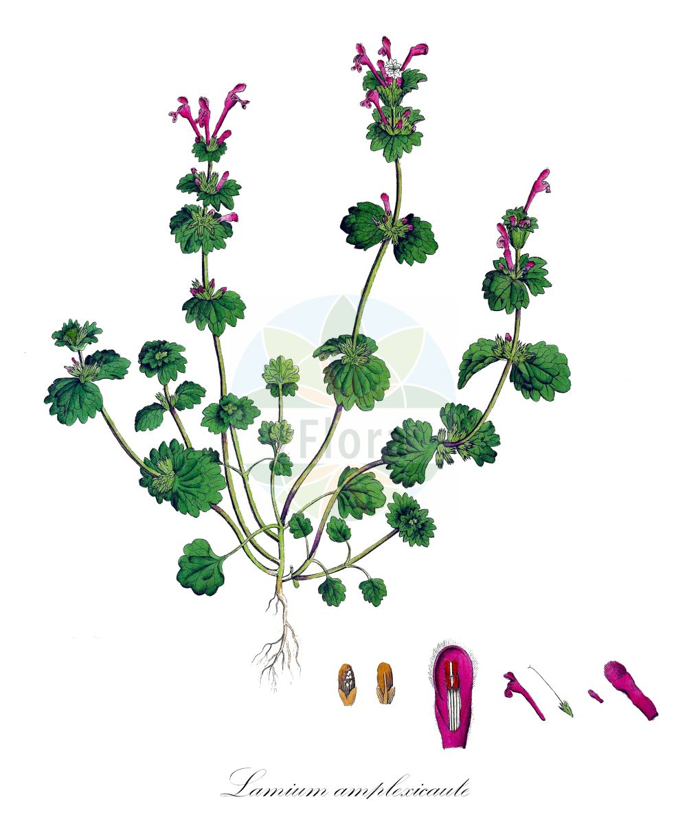 Historische Abbildung von Lamium amplexicaule (Staengelumfassende Taubnessel - Henbit Dead-nettle). Das Bild zeigt Blatt, Bluete, Frucht und Same. ---- Historical Drawing of Lamium amplexicaule (Staengelumfassende Taubnessel - Henbit Dead-nettle).The image is showing leaf, flower, fruit and seed.(Lamium amplexicaule,Staengelumfassende Taubnessel,Henbit Dead-nettle,Galeobdolon amplexicaule,Lamiella amplexicaulis,Lamiopsis amplexicaulis,Pollichia amplexicaulis,Stengelumfassende Taubnessel,Common Deadnettle,Common Henbit,Henbit,Lamium,Taubnessel,Deadnettle,Lamiaceae,Lippenbluetengewaechse;Lippenbluetler,Nettle family,Blatt,Bluete,Frucht,Same,leaf,flower,fruit,seed,Curtis (1777-1798))