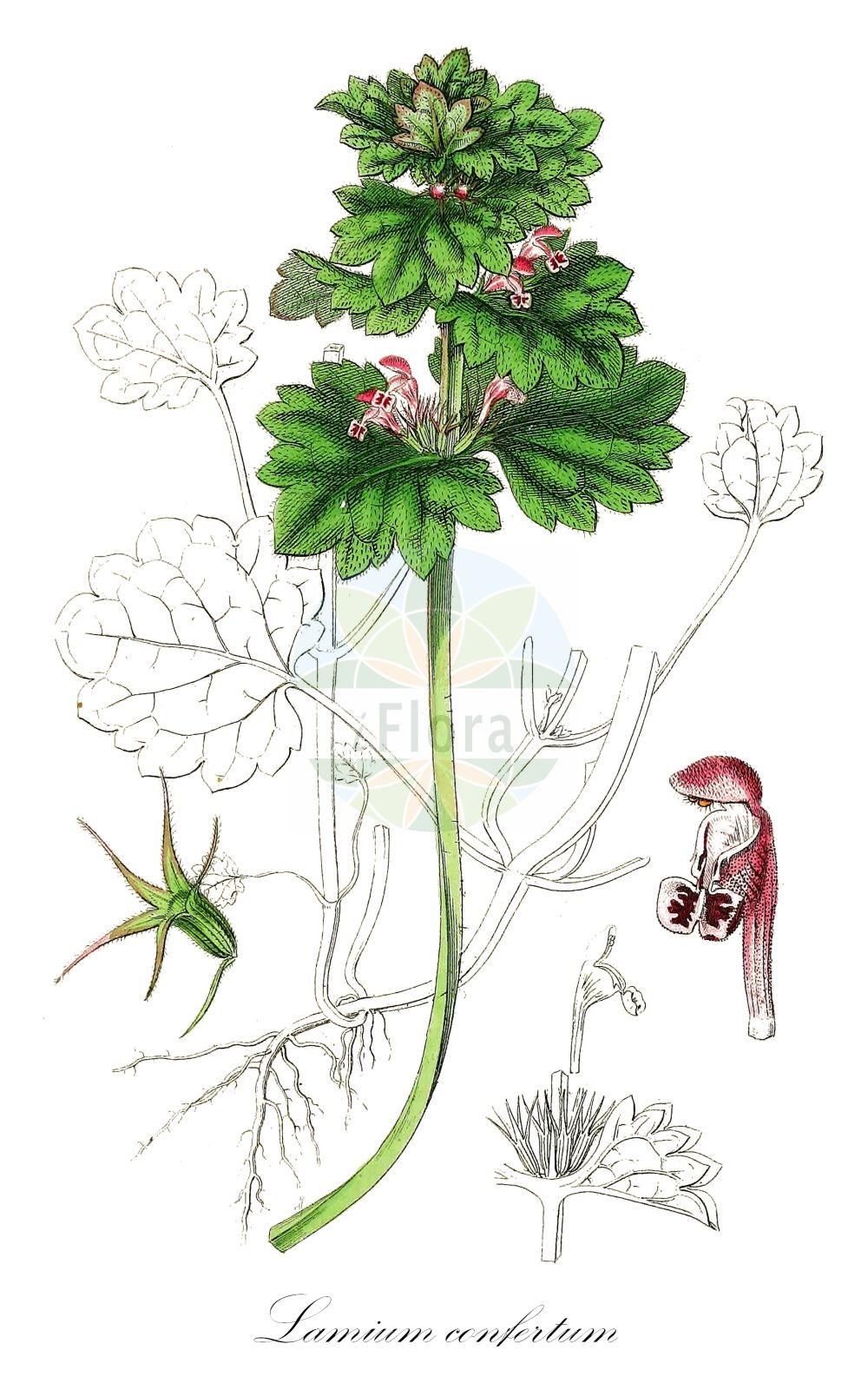 Historische Abbildung von Lamium confertum (Mittlere Taubnessel - Northern Dead-nettle). Das Bild zeigt Blatt, Bluete, Frucht und Same. ---- Historical Drawing of Lamium confertum (Mittlere Taubnessel - Northern Dead-nettle).The image is showing leaf, flower, fruit and seed.(Lamium confertum,Mittlere Taubnessel,Northern Dead-nettle,Lamium coutinhoi,Lamium intermedium,Intermediate Deadnettle,Lamium,Taubnessel,Deadnettle,Lamiaceae,Lippenbluetengewaechse;Lippenbluetler,Nettle family,Blatt,Bluete,Frucht,Same,leaf,flower,fruit,seed,Sowerby (1790-1813))