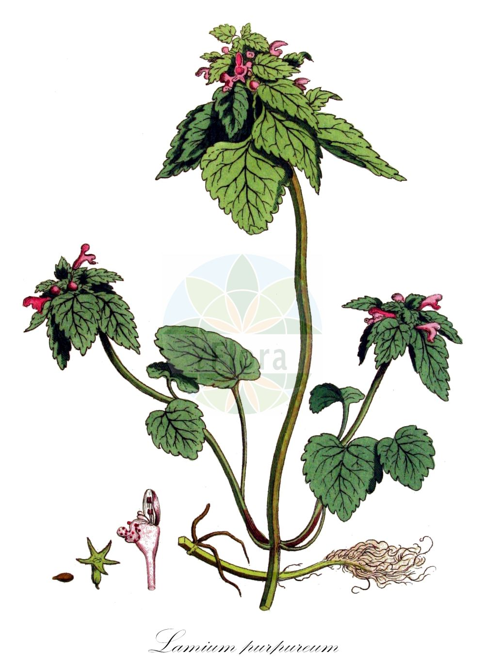 Historische Abbildung von Lamium purpureum (Purpurrote Taubnessel - Red Dead-nettle). Das Bild zeigt Blatt, Bluete, Frucht und Same. ---- Historical Drawing of Lamium purpureum (Purpurrote Taubnessel - Red Dead-nettle).The image is showing leaf, flower, fruit and seed.(Lamium purpureum,Purpurrote Taubnessel,Red Dead-nettle,Lamiopsis purpurea,,Eingeschnittene Taubnessel,i.w.S.,Purple Archangel,Purple Deadnettle,Red Henbit,Lamium,Taubnessel,Deadnettle,Lamiaceae,Lippenbluetengewaechse;Lippenbluetler,Nettle family,Blatt,Bluete,Frucht,Same,leaf,flower,fruit,seed,Kops (1800-1934))