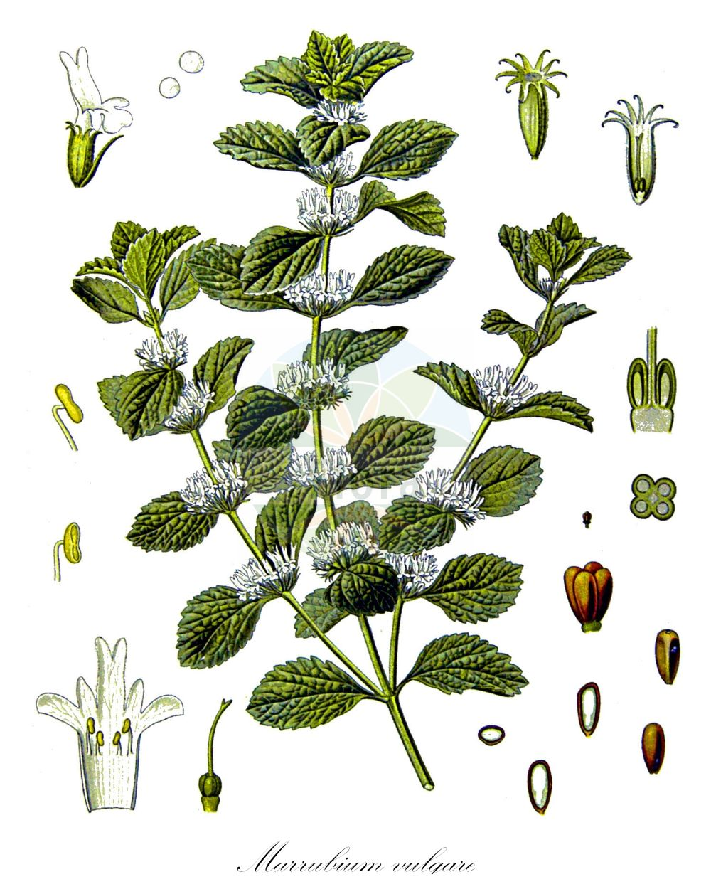 Historische Abbildung von Marrubium vulgare (Gewoehnlicher Andorn - White Horehound). Das Bild zeigt Blatt, Bluete, Frucht und Same. ---- Historical Drawing of Marrubium vulgare (Gewoehnlicher Andorn - White Horehound).The image is showing leaf, flower, fruit and seed.(Marrubium vulgare,Gewoehnlicher Andorn,White Horehound,Marrubium album,Marrubium apulum,Marrubium ballotoides,Marrubium germanicum,Marrubium hamatum,Prasium marrubium,Echter Andorn,Common Horehound,Horehound,Marrubium,Andorn,Horehound,Lamiaceae,Lippenbluetengewaechse;Lippenbluetler,Nettle family,Blatt,Bluete,Frucht,Same,leaf,flower,fruit,seed,Koehler (1883-1898))
