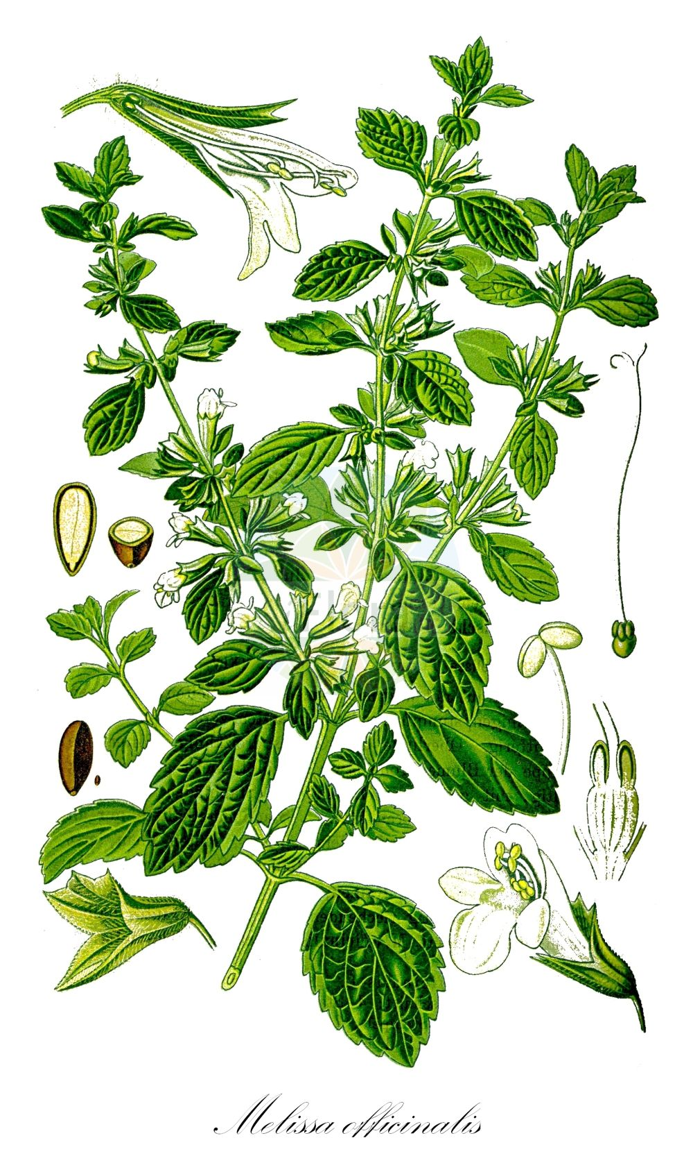 Historische Abbildung von Melissa officinalis (Zitronen-Melisse - Balm). Das Bild zeigt Blatt, Bluete, Frucht und Same. ---- Historical Drawing of Melissa officinalis (Zitronen-Melisse - Balm).The image is showing leaf, flower, fruit and seed.(Melissa officinalis,Zitronen-Melisse,Balm,Faucibarba officinalis,Mutelia officinalis,Thymus melissa,Common Bee Lemon ,Melissa,Melisse,Balm,Lamiaceae,Lippenbluetengewaechse;Lippenbluetler,Nettle family,Blatt,Bluete,Frucht,Same,leaf,flower,fruit,seed,Thomé (1885))