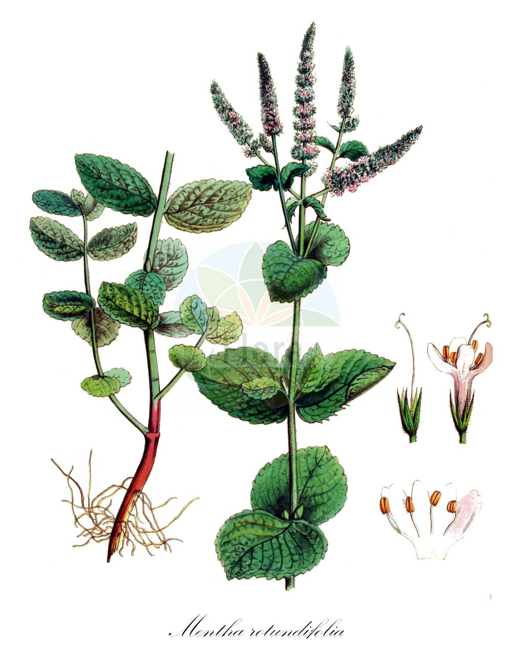 Historische Abbildung von Mentha rotundifolia (Rossminze). Das Bild zeigt Blatt, Bluete, Frucht und Same. ---- Historical Drawing of Mentha rotundifolia (Rossminze).The image is showing leaf, flower, fruit and seed.(Mentha rotundifolia,Rossminze,Mentha,Minze,Mint,Lamiaceae,Lippenbluetengewaechse;Lippenbluetler,Nettle family,Blatt,Bluete,Frucht,Same,leaf,flower,fruit,seed,Kops (1800-1934))