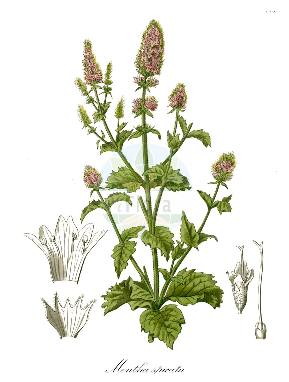 Historische Abbildung von Mentha spicata (Ähren-Minze - Spear Mint). Das Bild zeigt Blatt, Bluete, Frucht und Same. ---- Historical Drawing of Mentha spicata (Ähren-Minze - Spear Mint).The image is showing leaf, flower, fruit and seed.(Mentha spicata,Ähren-Minze,Spear Mint,Round-leaved Mint,Mentha,Minze,Mint,Lamiaceae,Lippenbluetengewaechse;Lippenbluetler,Nettle family,Blatt,Bluete,Frucht,Same,leaf,flower,fruit,seed,Kohl (1891-1895))