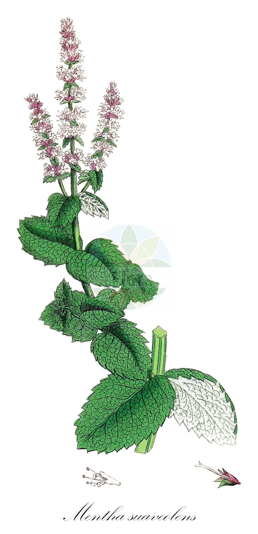 Historische Abbildung von Mentha suaveolens (Rundblaettrige Minze - Round-leaved Mint). Das Bild zeigt Blatt, Bluete, Frucht und Same. ---- Historical Drawing of Mentha suaveolens (Rundblaettrige Minze - Round-leaved Mint).The image is showing leaf, flower, fruit and seed.(Mentha suaveolens,Rundblaettrige Minze,Round-leaved Mint,Duft-Minze,Rundblatt-Minze,Apple Mint,Apple-scented Mint,Horse Mint,Mentha,Minze,Mint,Lamiaceae,Lippenbluetengewaechse;Lippenbluetler,Nettle family,Blatt,Bluete,Frucht,Same,leaf,flower,fruit,seed,Sowerby (1790-1813))