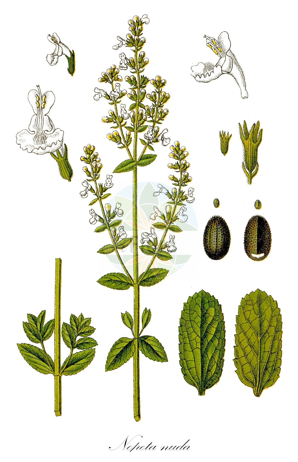 Historische Abbildung von Nepeta nuda (Pannonische Katzenminze - Hairless Cat-mint). Das Bild zeigt Blatt, Bluete, Frucht und Same. ---- Historical Drawing of Nepeta nuda (Pannonische Katzenminze - Hairless Cat-mint).The image is showing leaf, flower, fruit and seed.(Nepeta nuda,Pannonische Katzenminze,Hairless Cat-mint,Cataria nuda,Glechoma nuda,,Kahle Katzenminze,Nepeta,Katzenminze,Catnip,Lamiaceae,Lippenbluetengewaechse;Lippenbluetler,Nettle family,Blatt,Bluete,Frucht,Same,leaf,flower,fruit,seed,Sturm (1796f))