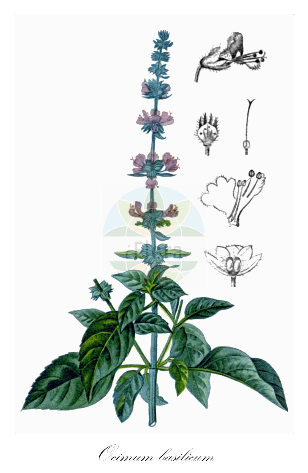 Historische Abbildung von Ocimum basilicum. Das Bild zeigt Blatt, Bluete, Frucht und Same. ---- Historical Drawing of Ocimum basilicum.The image is showing leaf, flower, fruit and seed.(Ocimum basilicum,Ocimum album,Ocimum anisatum,Ocimum barrelieri,Ocimum bullatum,Ocimum caryophyllatum,Ocimum chevalieri,Ocimum ciliare,Ocimum ciliatum,Ocimum citrodorum,Ocimum cochleatum,Ocimum dentatum,Ocimum hispidum,Ocimum integerrimum,Ocimum lanceolatum,Ocimum laxum,Ocimum majus,Ocimum medium,Ocimum minus,Ocimum nigrum,Ocimum odorum,Ocimum scabrum,Ocimum simile,Ocimum thyrsiflorum,Ocimum urticifolium,Plectranthus barrelieri,Ocimum,Lamiaceae,Lippenbluetengewaechse;Lippenbluetler,Nettle family,Blatt,Bluete,Frucht,Same,leaf,flower,fruit,seed,Chaumeton (1828-1832))