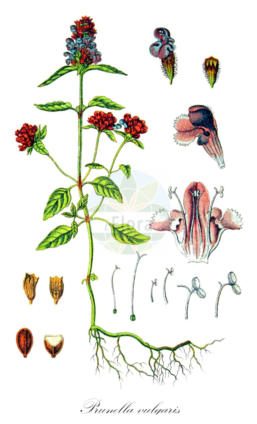 Historische Abbildung von Prunella vulgaris (Gewoehnliche Brunelle - Selfheal). Das Bild zeigt Blatt, Bluete, Frucht und Same. ---- Historical Drawing of Prunella vulgaris (Gewoehnliche Brunelle - Selfheal).The image is showing leaf, flower, fruit and seed.(Prunella vulgaris,Gewoehnliche Brunelle,Selfheal,Kleine Braunelle,Common Heal-all,Prunella,Braunelle,Selfheal,Lamiaceae,Lippenbluetengewaechse;Lippenbluetler,Nettle family,Blatt,Bluete,Frucht,Same,leaf,flower,fruit,seed,Sturm (1796f))