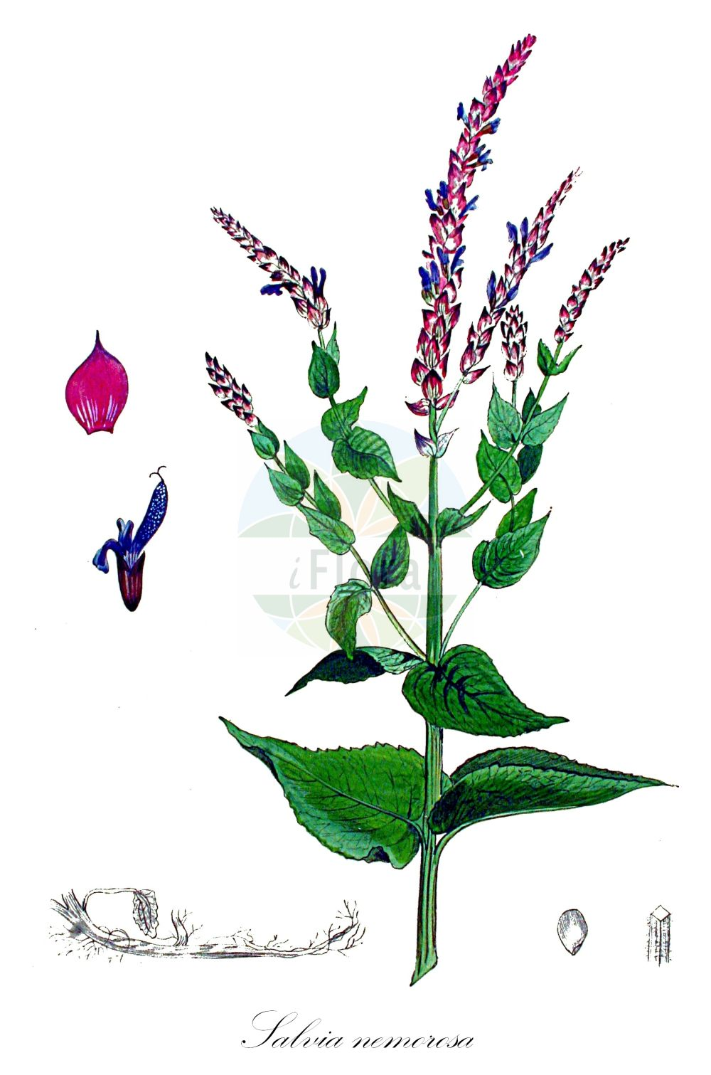 Historische Abbildung von Salvia nemorosa (Hain-Salbei - Balkan Clary). Das Bild zeigt Blatt, Bluete, Frucht und Same. ---- Historical Drawing of Salvia nemorosa (Hain-Salbei - Balkan Clary).The image is showing leaf, flower, fruit and seed.(Salvia nemorosa,Hain-Salbei,Balkan Clary,Sclarea nemorosa,,Wald-Salbei,Pasture Sage,Salvia,Salbei,Sage,Lamiaceae,Lippenbluetengewaechse;Lippenbluetler,Nettle family,Blatt,Bluete,Frucht,Same,leaf,flower,fruit,seed,Kops (1800-1934))