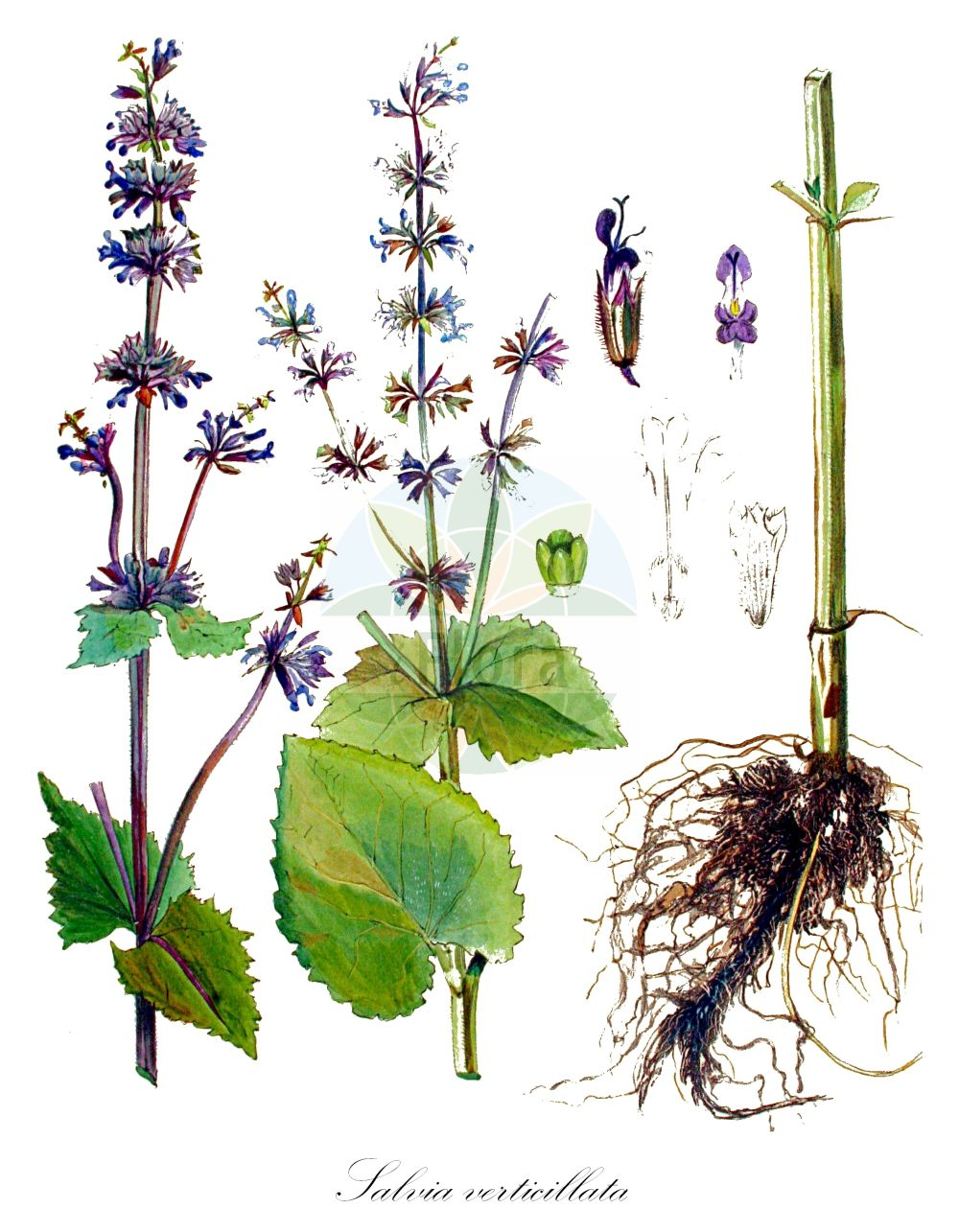 Historische Abbildung von Salvia verticillata (Quirlbluetiger Salbei - Whorled Clary). Das Bild zeigt Blatt, Bluete, Frucht und Same. ---- Historical Drawing of Salvia verticillata (Quirlbluetiger Salbei - Whorled Clary).The image is showing leaf, flower, fruit and seed.(Salvia verticillata,Quirlbluetiger Salbei,Whorled Clary,Covola verticillata,Hemisphace verticillata,Horminum verticillatum,Sphacopsis verticillata,Lilac Sage,Whorled Sage,Salvia,Salbei,Sage,Lamiaceae,Lippenbluetengewaechse;Lippenbluetler,Nettle family,Blatt,Bluete,Frucht,Same,leaf,flower,fruit,seed,Kops (1800-1934))