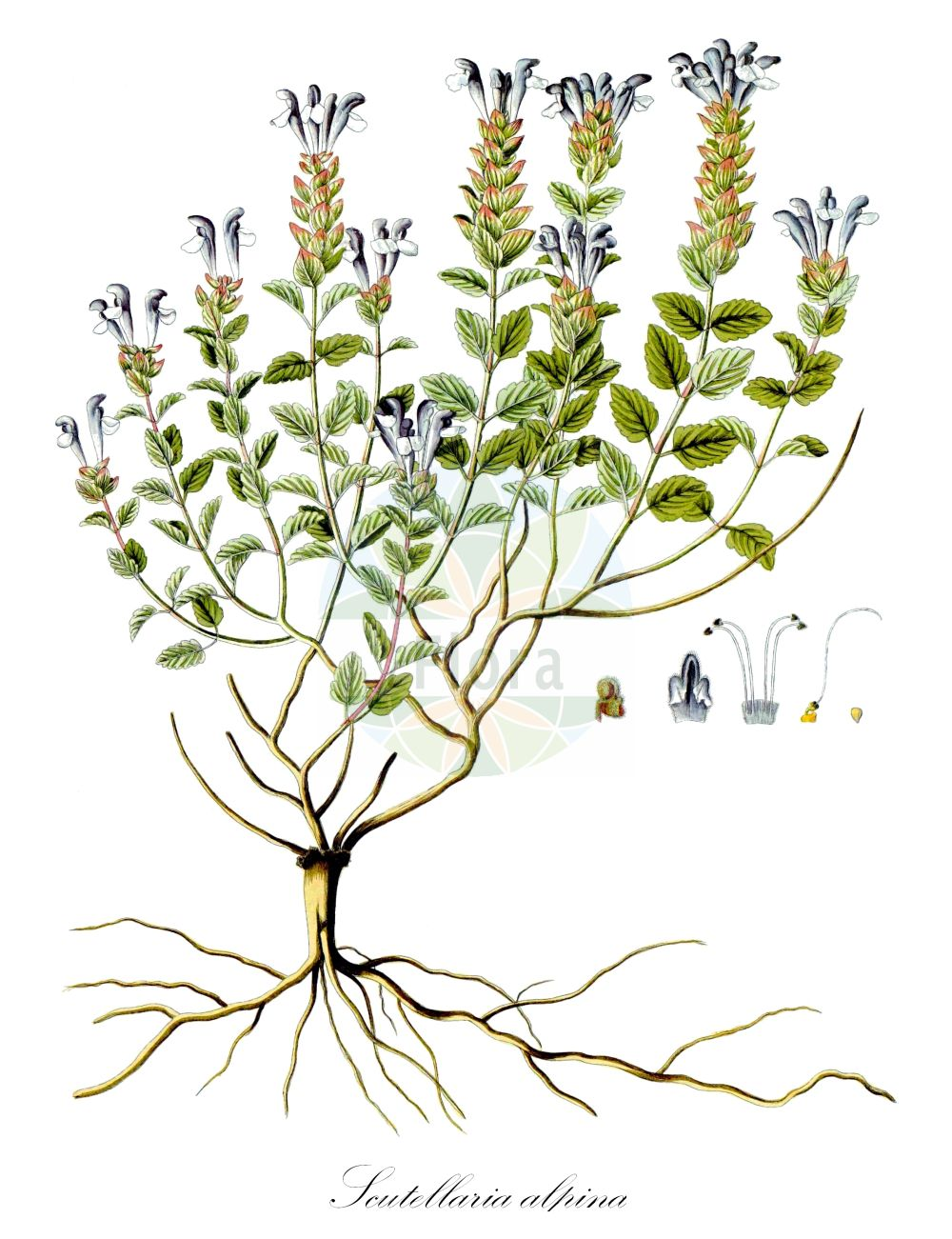 Historische Abbildung von Scutellaria alpina. Das Bild zeigt Blatt, Bluete, Frucht und Same. ---- Historical Drawing of Scutellaria alpina.The image is showing leaf, flower, fruit and seed.(Scutellaria alpina,Cassida alpina,Scutellaria compressa,Scutellaria jabalambrensis,Scutellaria lupulina,Scutellaria variegata,Scutellaria viscida,Scutellaria,Helmkraut,Skullcap,Lamiaceae,Lippenbluetengewaechse;Lippenbluetler,Nettle family,Blatt,Bluete,Frucht,Same,leaf,flower,fruit,seed,Waldstein-Wartenberg & Kitaibel (1799-1812))