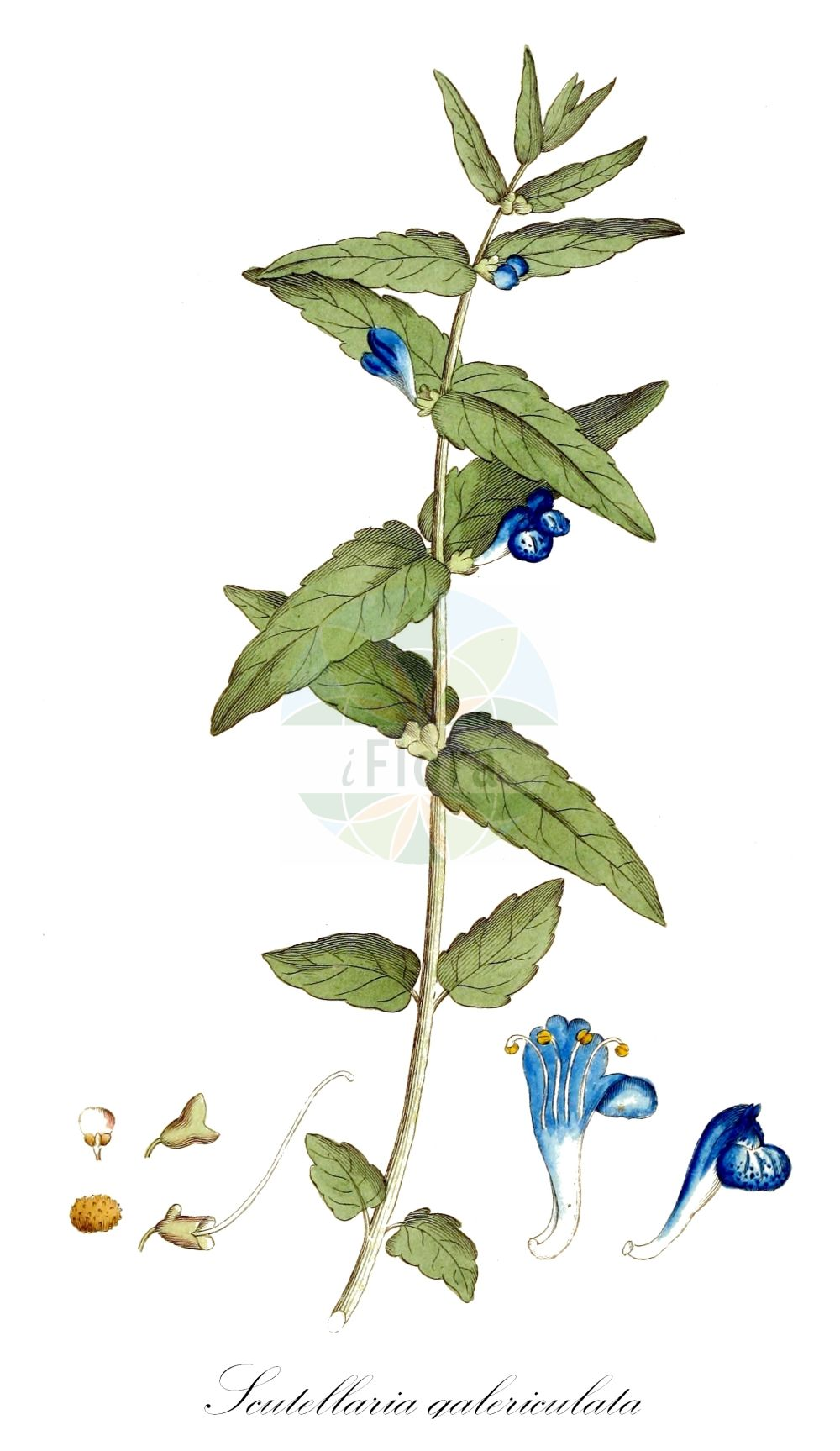 Historische Abbildung von Scutellaria galericulata (Sumpf-Helmkraut - Skullcap). Das Bild zeigt Blatt, Bluete, Frucht und Same. ---- Historical Drawing of Scutellaria galericulata (Sumpf-Helmkraut - Skullcap).The image is showing leaf, flower, fruit and seed.(Scutellaria galericulata,Sumpf-Helmkraut,Skullcap,Cassida galericulata,Cassida major,Scutellaria adamsii,Scutellaria epilobiifolia,Scutellaria pauciflora,Blue Common Marsh ,Scutellaria,Helmkraut,Skullcap,Lamiaceae,Lippenbluetengewaechse;Lippenbluetler,Nettle family,Blatt,Bluete,Frucht,Same,leaf,flower,fruit,seed,Palmstruch (1807-1843))