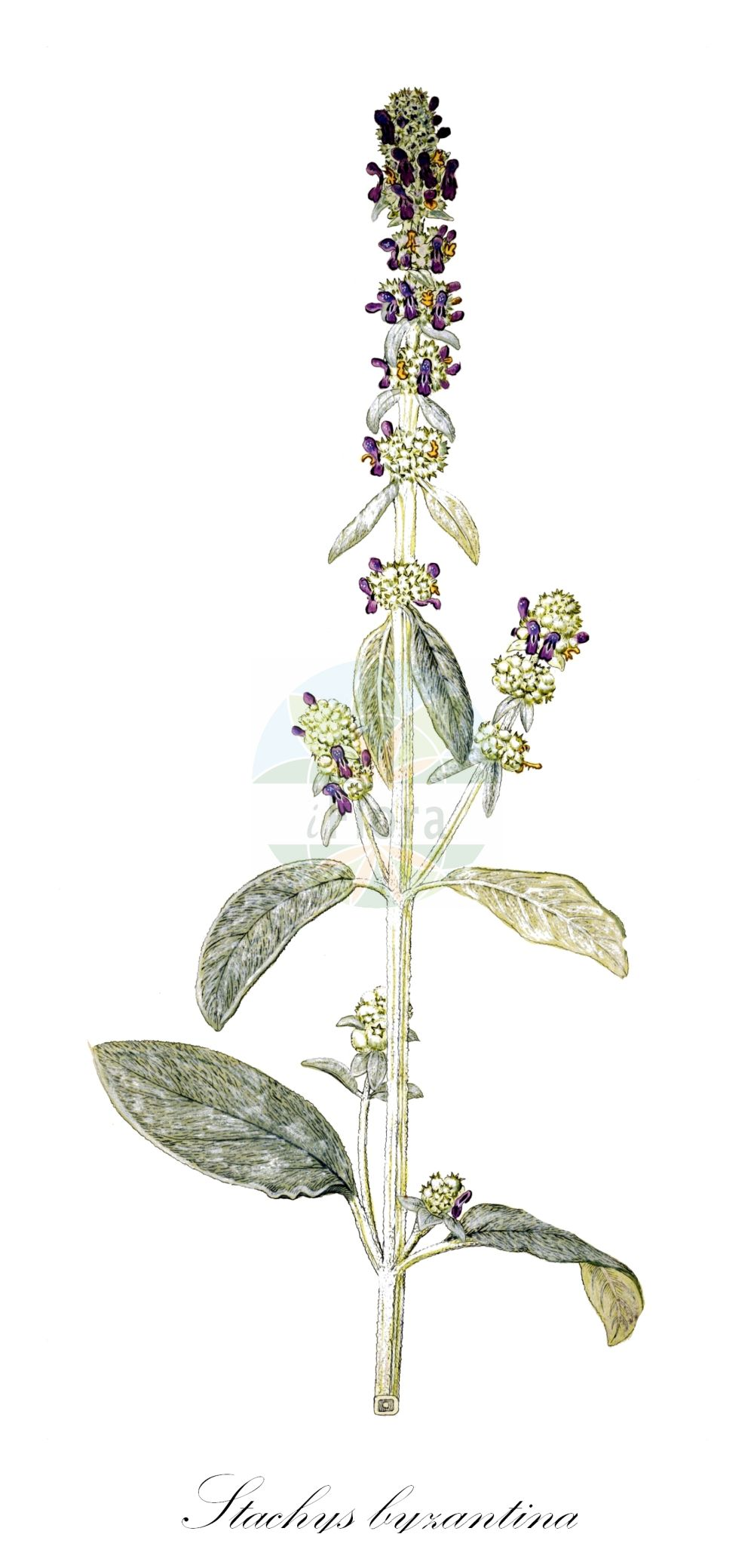 Historische Abbildung von Stachys byzantina. Das Bild zeigt Blatt, Bluete, Frucht und Same. ---- Historical Drawing of Stachys byzantina.The image is showing leaf, flower, fruit and seed.(Stachys byzantina,Eriostomum lanatum,Stachys lanata,Stachys olympica,Stachys taurica,Stachys,Ziest,Hedgenettle,Lamiaceae,Lippenbluetengewaechse;Lippenbluetler,Nettle family,Blatt,Bluete,Frucht,Same,leaf,flower,fruit,seed,von Jacquin (1727-1817))