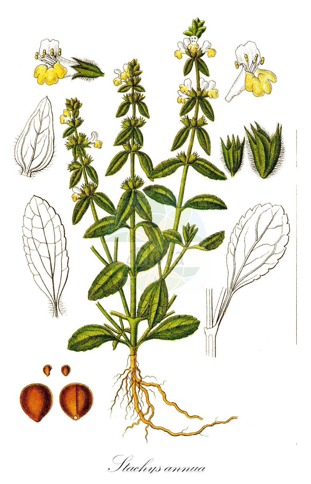 Historische Abbildung von Stachys annua (Einjaehriger Ziest - Annual Yellow-woundwort). Das Bild zeigt Blatt, Bluete, Frucht und Same. ---- Historical Drawing of Stachys annua (Einjaehriger Ziest - Annual Yellow-woundwort).The image is showing leaf, flower, fruit and seed.(Stachys annua,Einjaehriger Ziest,Annual Yellow-woundwort,Betonica annua,Olisia annua,Prasium stachydium,,Einjahrs-Ziest,Annual Woundwort,Annual Hedgenettle,Hedge-nettle Betony,Stachys,Ziest,Hedgenettle,Lamiaceae,Lippenbluetengewaechse;Lippenbluetler,Nettle family,Blatt,Bluete,Frucht,Same,leaf,flower,fruit,seed,Sturm (1796f))