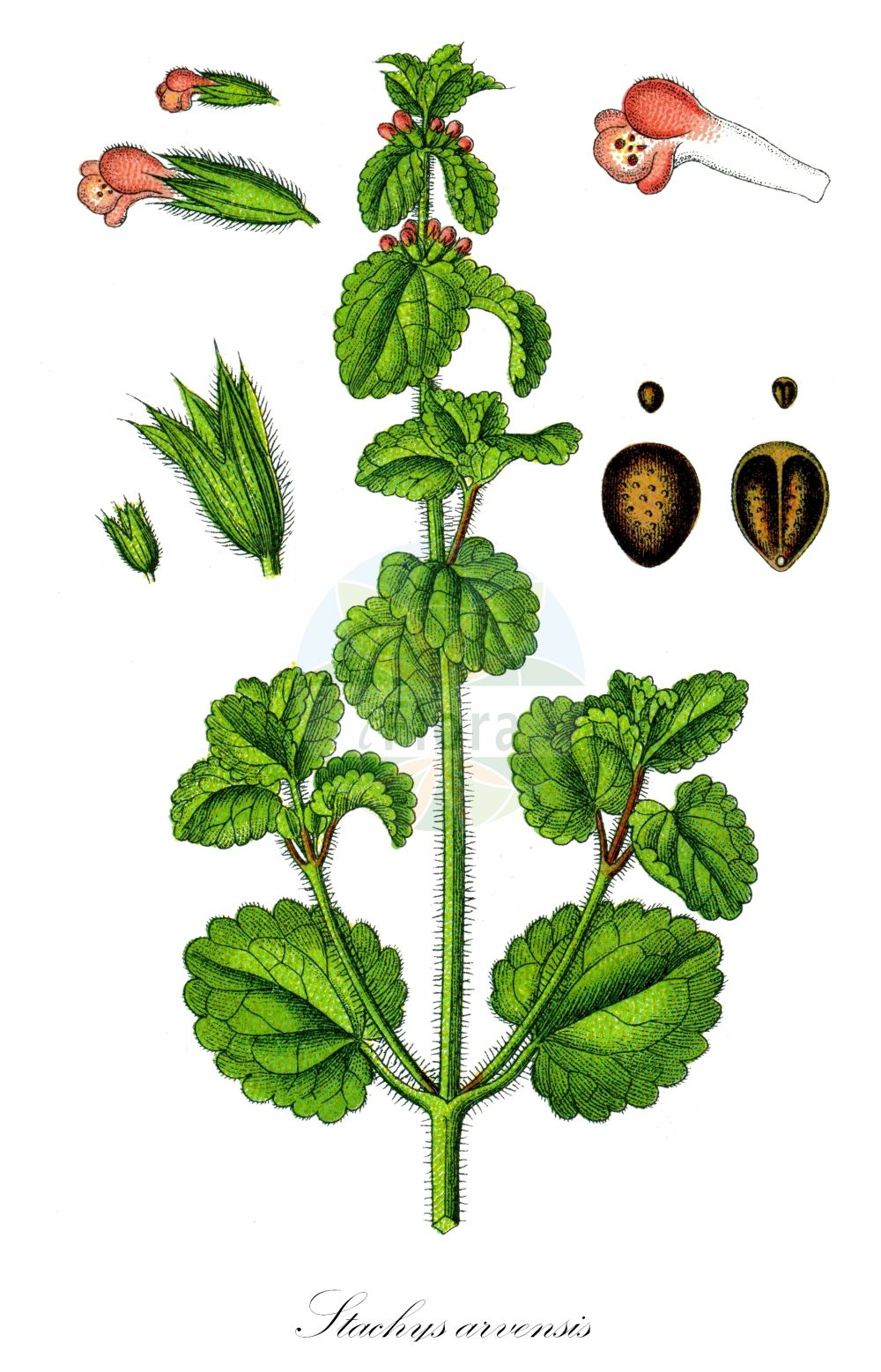 Historische Abbildung von Stachys arvensis (Acker-Ziest - Field Woundwort). Das Bild zeigt Blatt, Bluete, Frucht und Same. ---- Historical Drawing of Stachys arvensis (Acker-Ziest - Field Woundwort).The image is showing leaf, flower, fruit and seed.(Stachys arvensis,Acker-Ziest,Field Woundwort,Cardiaca arvensis,Glechoma arvensis,Glechoma belgica,Glechoma marrubiastrum,Stachys brasiliensis,Trixago arvensis,Trixago colorata,Trixago cordifolia,Trixago punctata,Trixella arvensis,Corn Woundwort,Field-nettle Betony,Staggerweed,Stachys,Ziest,Hedgenettle,Lamiaceae,Lippenbluetengewaechse;Lippenbluetler,Nettle family,Blatt,Bluete,Frucht,Same,leaf,flower,fruit,seed,Sturm (1796f))