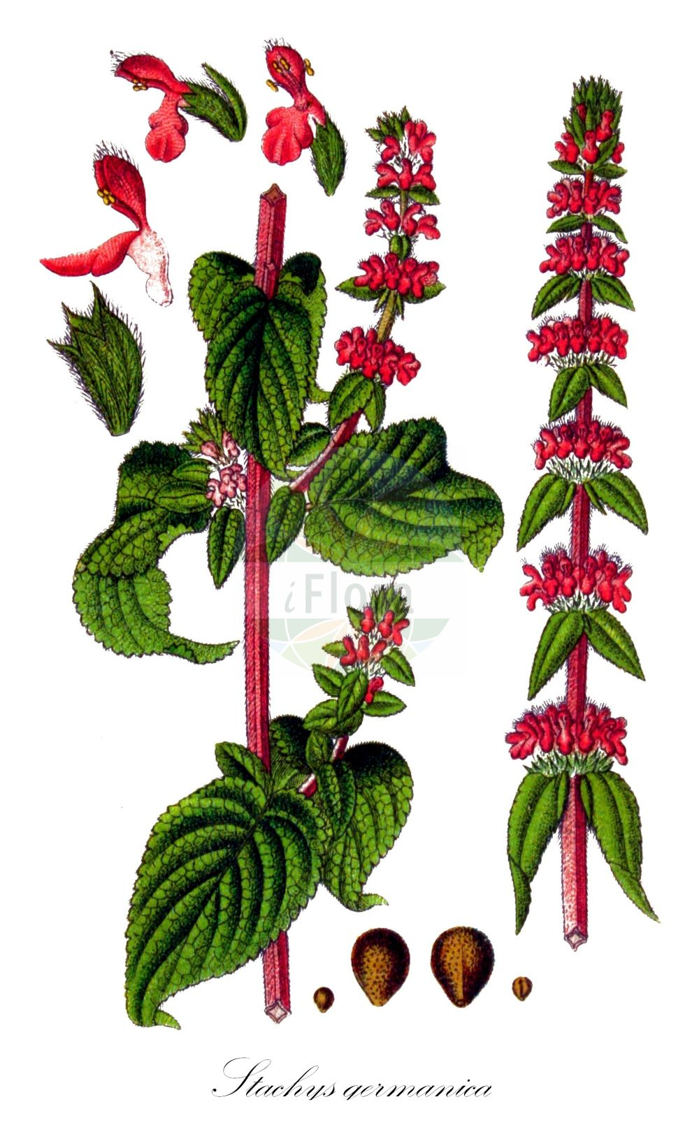 Historische Abbildung von Stachys germanica (Deutscher Ziest - Downy Woundwort). Das Bild zeigt Blatt, Bluete, Frucht und Same. ---- Historical Drawing of Stachys germanica (Deutscher Ziest - Downy Woundwort).The image is showing leaf, flower, fruit and seed.(Stachys germanica,Deutscher Ziest,Downy Woundwort,Eriostomum germanicum,Leonurus germanica,,German Hedge Nettle,German Stachys,Stachys,Ziest,Hedgenettle,Lamiaceae,Lippenbluetengewaechse;Lippenbluetler,Nettle family,Blatt,Bluete,Frucht,Same,leaf,flower,fruit,seed,Sturm (1796f))