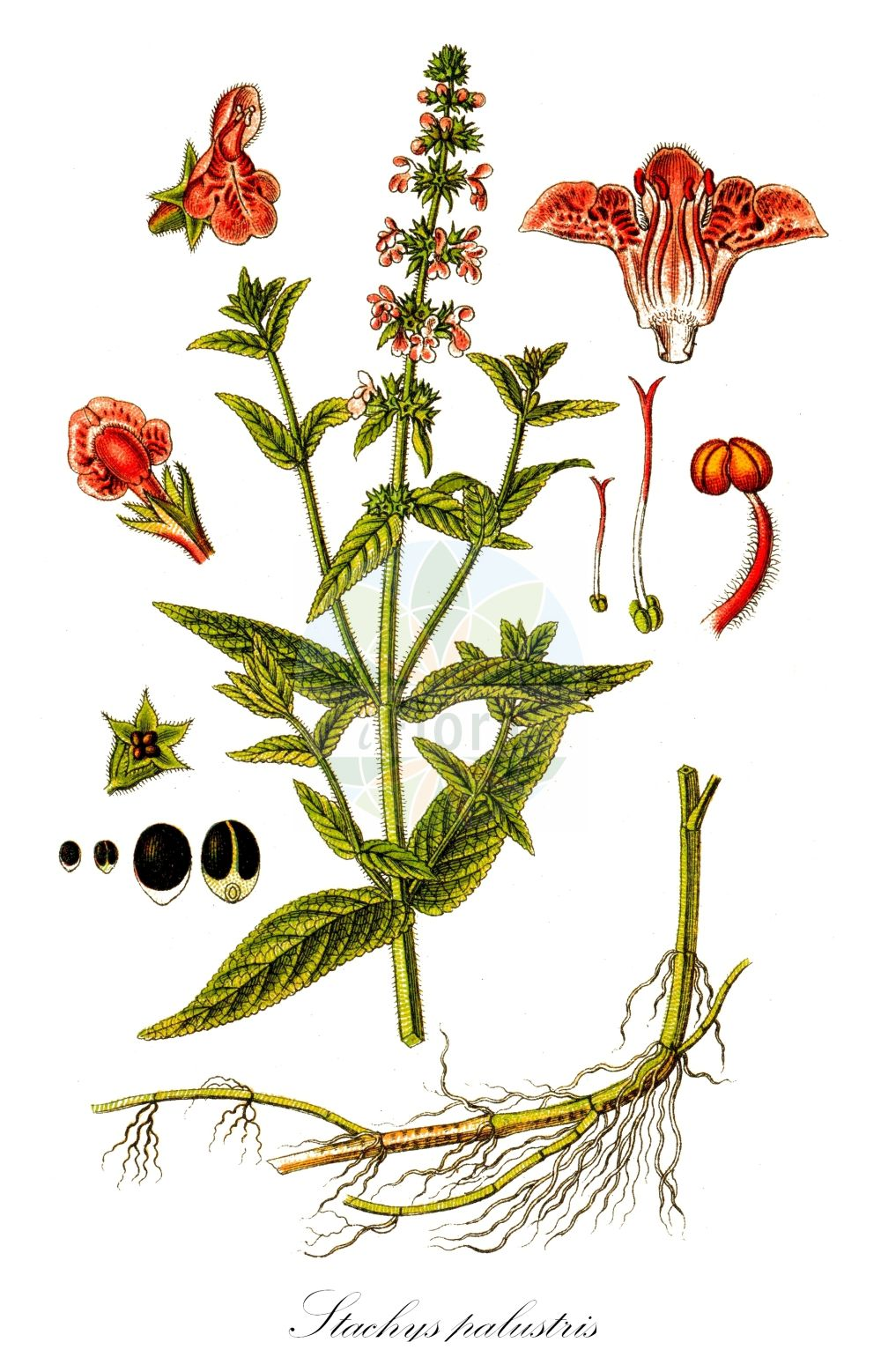Historische Abbildung von Stachys palustris (Sumpf-Ziest - Marsh Woundwort). Das Bild zeigt Blatt, Bluete, Frucht und Same. ---- Historical Drawing of Stachys palustris (Sumpf-Ziest - Marsh Woundwort).The image is showing leaf, flower, fruit and seed.(Stachys palustris,Sumpf-Ziest,Marsh Woundwort,Stachys aquatica,Stachys austriaca,Stachys maeotica,Stachys segetum,Stachys wolgensis,Schweinsruebe,Marsh Betony,Marsh Hedgenettle,Smooth Hedgenettle,Woundwort,Stachys,Ziest,Hedgenettle,Lamiaceae,Lippenbluetengewaechse;Lippenbluetler,Nettle family,Blatt,Bluete,Frucht,Same,leaf,flower,fruit,seed,Sturm (1796f))
