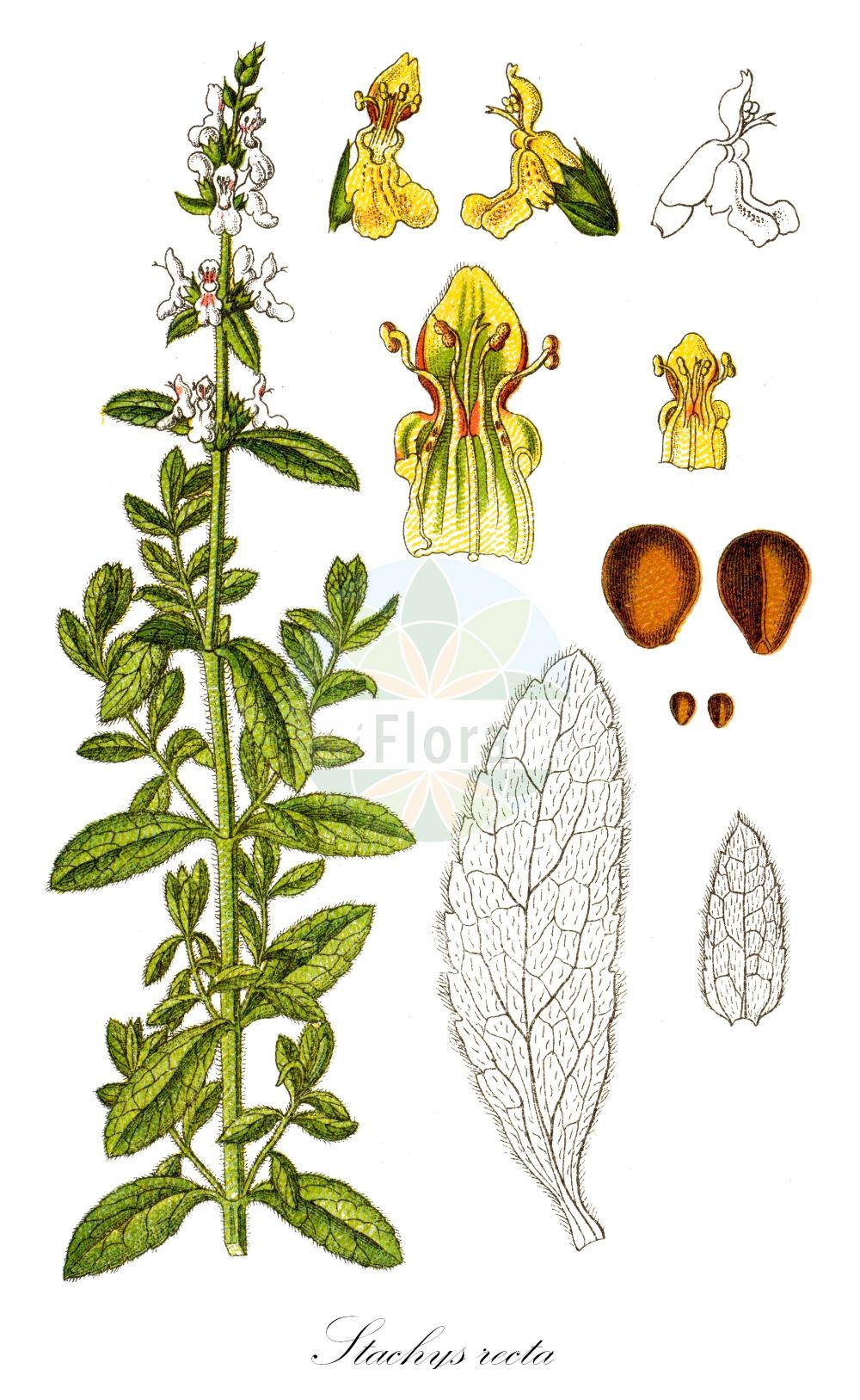 Historische Abbildung von Stachys recta (Aufrechter Ziest - Perennial Yellow-woundwort). Das Bild zeigt Blatt, Bluete, Frucht und Same. ---- Historical Drawing of Stachys recta (Aufrechter Ziest - Perennial Yellow-woundwort).The image is showing leaf, flower, fruit and seed.(Stachys recta,Aufrechter Ziest,Perennial Yellow-woundwort,Betonica recta,Ortostachys recta,Prasium stachys,,Grossbluetiger Ziest,Stiff Hedgenettle,Upright Hedge Nettle,Stachys,Ziest,Hedgenettle,Lamiaceae,Lippenbluetengewaechse;Lippenbluetler,Nettle family,Blatt,Bluete,Frucht,Same,leaf,flower,fruit,seed,Sturm (1796f))