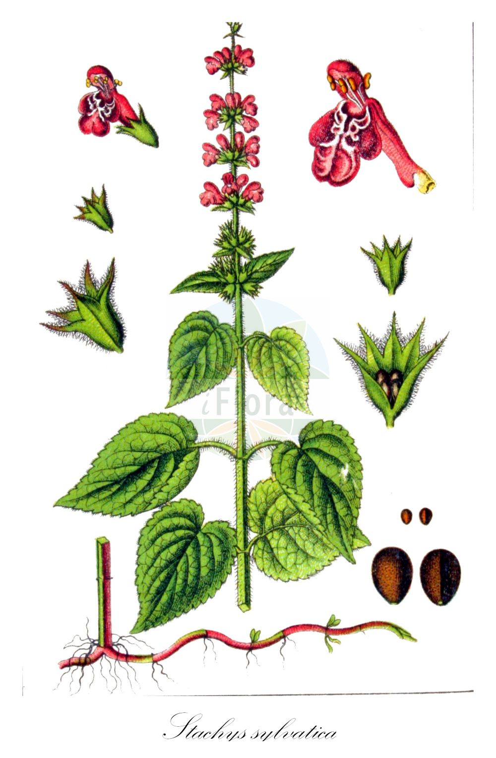 Historische Abbildung von Stachys sylvatica (Wald-Ziest - Hedge Woundwort). Das Bild zeigt Blatt, Bluete, Frucht und Same. ---- Historical Drawing of Stachys sylvatica (Wald-Ziest - Hedge Woundwort).The image is showing leaf, flower, fruit and seed.(Stachys sylvatica,Wald-Ziest,Hedge Woundwort,Stachys canariensis,Stachys cordata,Stachys cordatifolia,Stachys foetida,Stachys glaucescens,Stachys trapezuntea,Hedge Stachys,Whitespot,Wood Betony,Stachys,Ziest,Hedgenettle,Lamiaceae,Lippenbluetengewaechse;Lippenbluetler,Nettle family,Blatt,Bluete,Frucht,Same,leaf,flower,fruit,seed,Sturm (1796f))
