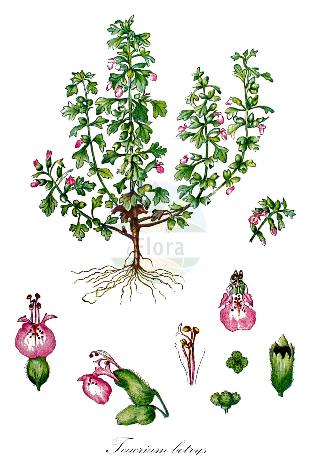 Historische Abbildung von Teucrium botrys (Trauben-Gamander - Cut-leaved Germander). Das Bild zeigt Blatt, Bluete, Frucht und Same. ---- Historical Drawing of Teucrium botrys (Trauben-Gamander - Cut-leaved Germander).The image is showing leaf, flower, fruit and seed.(Teucrium botrys,Trauben-Gamander,Cut-leaved Germander,Botrys chamaedryoides,Chamaedrys botrys,Chamaedrys laciniata,Monochilon bipinnatifidus,Scorodonia botrys,Teucrium alpinum,Teucrium botrydium,Teucrium chamaedryoides,Trixago botrys,Feld-Gamander,Cutleaf Germander,Teucrium,Gamander,Germander,Lamiaceae,Lippenbluetengewaechse;Lippenbluetler,Nettle family,Blatt,Bluete,Frucht,Same,leaf,flower,fruit,seed,Kops (1800-1934))