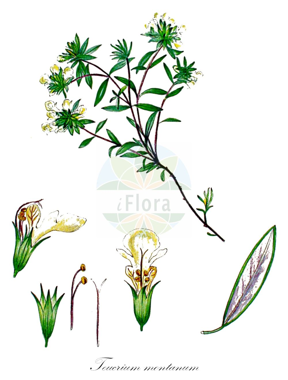 Historische Abbildung von Teucrium montanum (Berg-Gamander - Mountain Germander). Das Bild zeigt Blatt, Bluete, Frucht und Same. ---- Historical Drawing of Teucrium montanum (Berg-Gamander - Mountain Germander).The image is showing leaf, flower, fruit and seed.(Teucrium montanum,Berg-Gamander,Mountain Germander,Chamaedrys montana,Polium montanum,,Teucrium,Gamander,Germander,Lamiaceae,Lippenbluetengewaechse;Lippenbluetler,Nettle family,Blatt,Bluete,Frucht,Same,leaf,flower,fruit,seed,Kops (1800-1934))