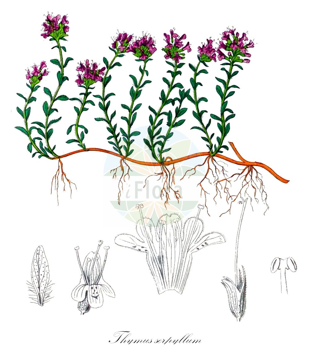 Historische Abbildung von Thymus serpyllum (Gewoehnlicher Sand-Thymian - Breckland Thyme). Das Bild zeigt Blatt, Bluete, Frucht und Same. ---- Historical Drawing of Thymus serpyllum (Gewoehnlicher Sand-Thymian - Breckland Thyme).The image is showing leaf, flower, fruit and seed.(Thymus serpyllum,Gewoehnlicher Sand-Thymian,Breckland Thyme,Origanum serpyllum,Serpyllum vulgare,,Innsbrucker Quendel,Innsbrucker Thymian,Sand-Quendel,Sand-Thymian,Tiroler Quendel,Breckland Garden,Creeping Thyme,Mother-of-Thyme,Thymus,Thymian,Thyme,Lamiaceae,Lippenbluetengewaechse;Lippenbluetler,Nettle family,Blatt,Bluete,Frucht,Same,leaf,flower,fruit,seed,Kohl (1891-1895))