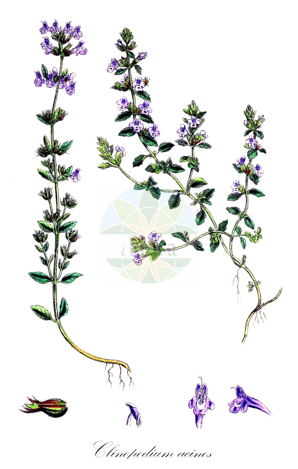 Historische Abbildung von Clinopodium acinos (Feld-Steinquendel - Basil Thyme). Das Bild zeigt Blatt, Bluete, Frucht und Same. ---- Historical Drawing of Clinopodium acinos (Feld-Steinquendel - Basil Thyme).The image is showing leaf, flower, fruit and seed.(Clinopodium acinos,Feld-Steinquendel,Basil Thyme,Acinos acinos,Acinos acuminatus,Acinos arvensis,Acinos clinopodiifacie,Acinos eglandulosus,Acinos inflectus,Acinos schizodontus,Acinos subcrispus,Acinos thymoides,Acinos villosus,Calamintha acinos,Calamintha heterophylla,Calamintha villosa,Faucibarba acinos,Melissa acinos,Melissa arvensis,Satureja acinos,Thymus acinos,Thymus arvensis,Thymus canescens,Thymus concinnus,Thymus gibbosus,Gewoehnlicher Steinquendel,Stein-Bergminze,Mother-of-Thyme,Clinopodium,Wirbeldost,Calamint,Lamiaceae,Lippenbluetengewaechse;Lippenbluetler,Nettle family,Blatt,Bluete,Frucht,Same,leaf,flower,fruit,seed,Sowerby (1790-1813))