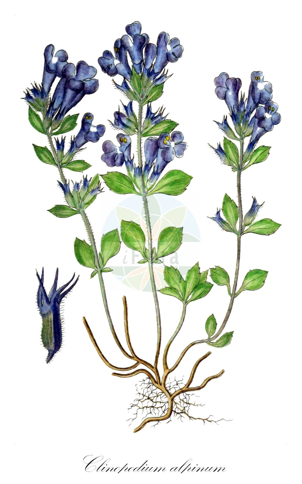 Historische Abbildung von Clinopodium alpinum (Alpen-Steinquendel - Alpine Calamint). Das Bild zeigt Blatt, Bluete, Frucht und Same. ---- Historical Drawing of Clinopodium alpinum (Alpen-Steinquendel - Alpine Calamint).The image is showing leaf, flower, fruit and seed.(Clinopodium alpinum,Alpen-Steinquendel,Alpine Calamint,Faucibarba alpina,Melissa alpina,Satureja alpina,Thymus alpinus,Alpenquendel,Rock Thyme,Clinopodium,Wirbeldost,Calamint,Lamiaceae,Lippenbluetengewaechse;Lippenbluetler,Nettle family,Blatt,Bluete,Frucht,Same,leaf,flower,fruit,seed,Sturm (1796f))
