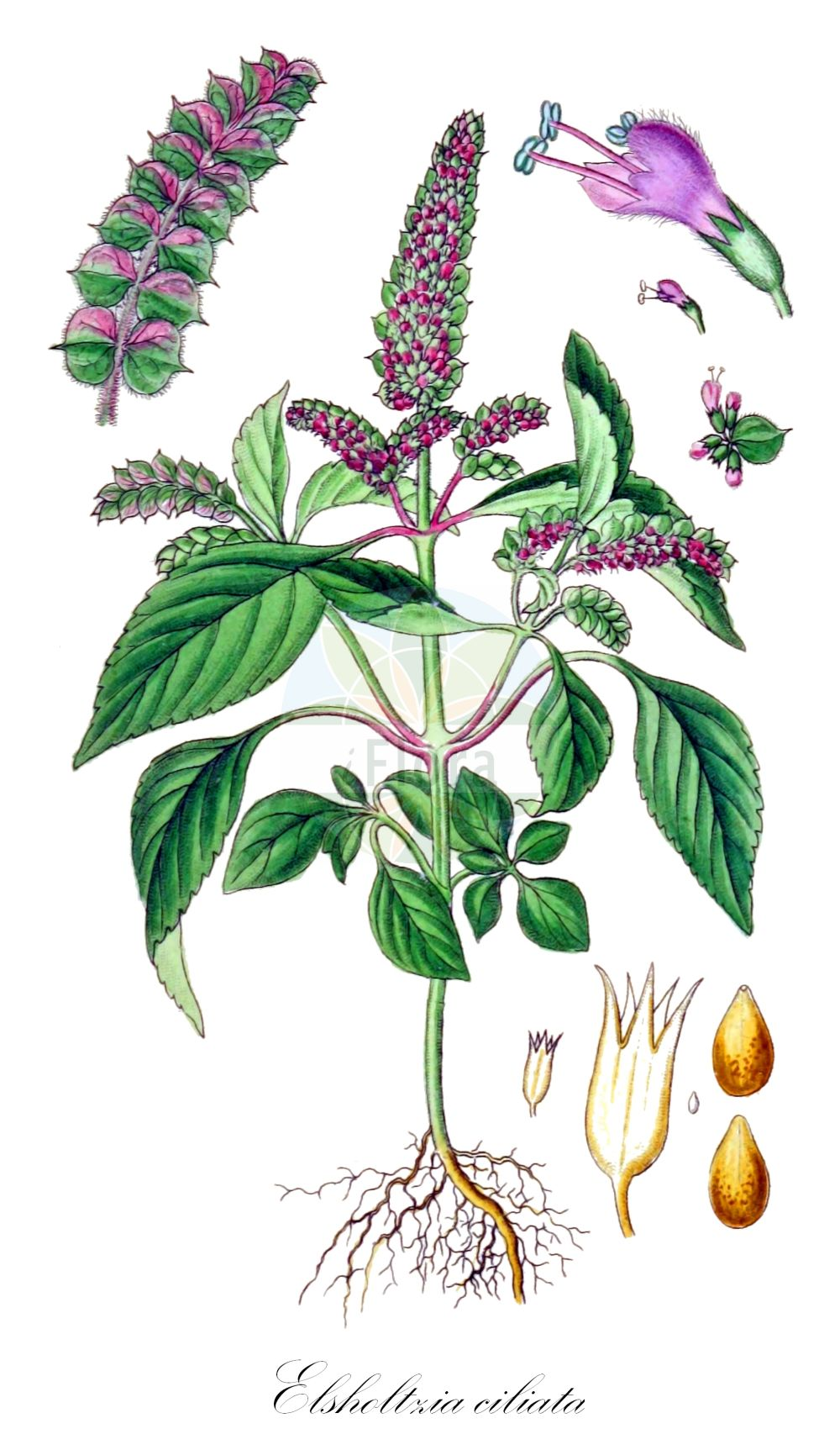 Historische Abbildung von Elsholtzia ciliata. Das Bild zeigt Blatt, Bluete, Frucht und Same. ---- Historical Drawing of Elsholtzia ciliata.The image is showing leaf, flower, fruit and seed.(Elsholtzia ciliata,Elsholtzia cristata,Elsholtzia formosana,Elsholtzia interrupta,Elsholtzia minima,Elsholtzia patrinii,Elsholtzia pseudocristata,Hyssopus bracteatus,Hyssopus ocymifolius,Mentha baikalensis,Mentha cristata,Mentha ovata,Mentha patrinii,Mentha perilloides,Perilla polystachya,Sideritis ciliata,Elsholtzia,Lamiaceae,Lippenbluetengewaechse;Lippenbluetler,Nettle family,Blatt,Bluete,Frucht,Same,leaf,flower,fruit,seed,Sturm (1796f))