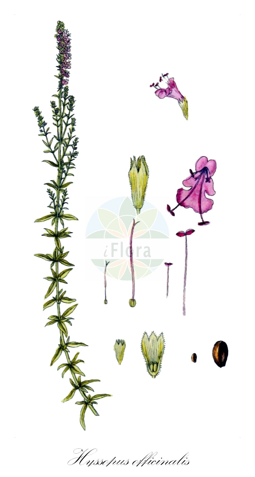 Historische Abbildung von Hyssopus officinalis (Echter Ysop - Hyssop). Das Bild zeigt Blatt, Bluete, Frucht und Same. ---- Historical Drawing of Hyssopus officinalis (Echter Ysop - Hyssop).The image is showing leaf, flower, fruit and seed.(Hyssopus officinalis,Echter Ysop,Hyssop,Thymus hyssopus,Gewoehnlicher Ysop,Hyssopus,Ysop,Hyssop,Lamiaceae,Lippenbluetengewaechse;Lippenbluetler,Nettle family,Blatt,Bluete,Frucht,Same,leaf,flower,fruit,seed,Sturm (1796f))