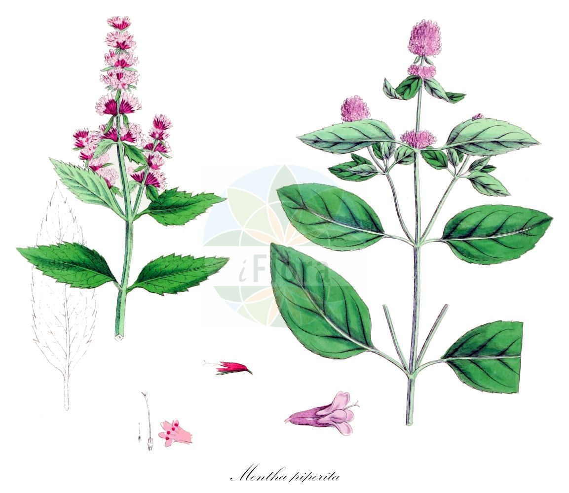 Historische Abbildung von Mentha piperita (Pfeffer-Minze - Chocolate Mint). Das Bild zeigt Blatt, Bluete, Frucht und Same. ---- Historical Drawing of Mentha piperita (Pfeffer-Minze - Chocolate Mint).The image is showing leaf, flower, fruit and seed.(Mentha piperita,Pfeffer-Minze,Chocolate Mint,Mentha,Minze,Mint,Lamiaceae,Lippenbluetengewaechse;Lippenbluetler,Nettle family,Blatt,Bluete,Frucht,Same,leaf,flower,fruit,seed,Sowerby (1790-1813))