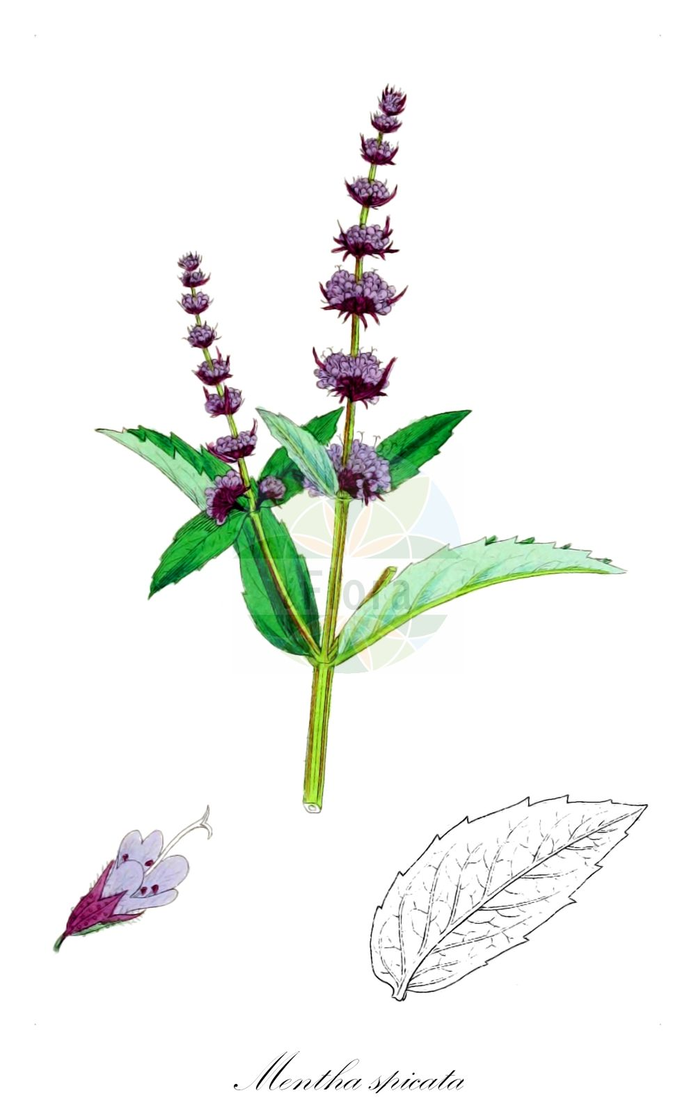 Historische Abbildung von Mentha spicata (Ähren-Minze - Spear Mint). Das Bild zeigt Blatt, Bluete, Frucht und Same. ---- Historical Drawing of Mentha spicata (Ähren-Minze - Spear Mint).The image is showing leaf, flower, fruit and seed.(Mentha spicata,Ähren-Minze,Spear Mint,Round-leaved Mint,Mentha,Minze,Mint,Lamiaceae,Lippenbluetengewaechse;Lippenbluetler,Nettle family,Blatt,Bluete,Frucht,Same,leaf,flower,fruit,seed,Sowerby (1790-1813))