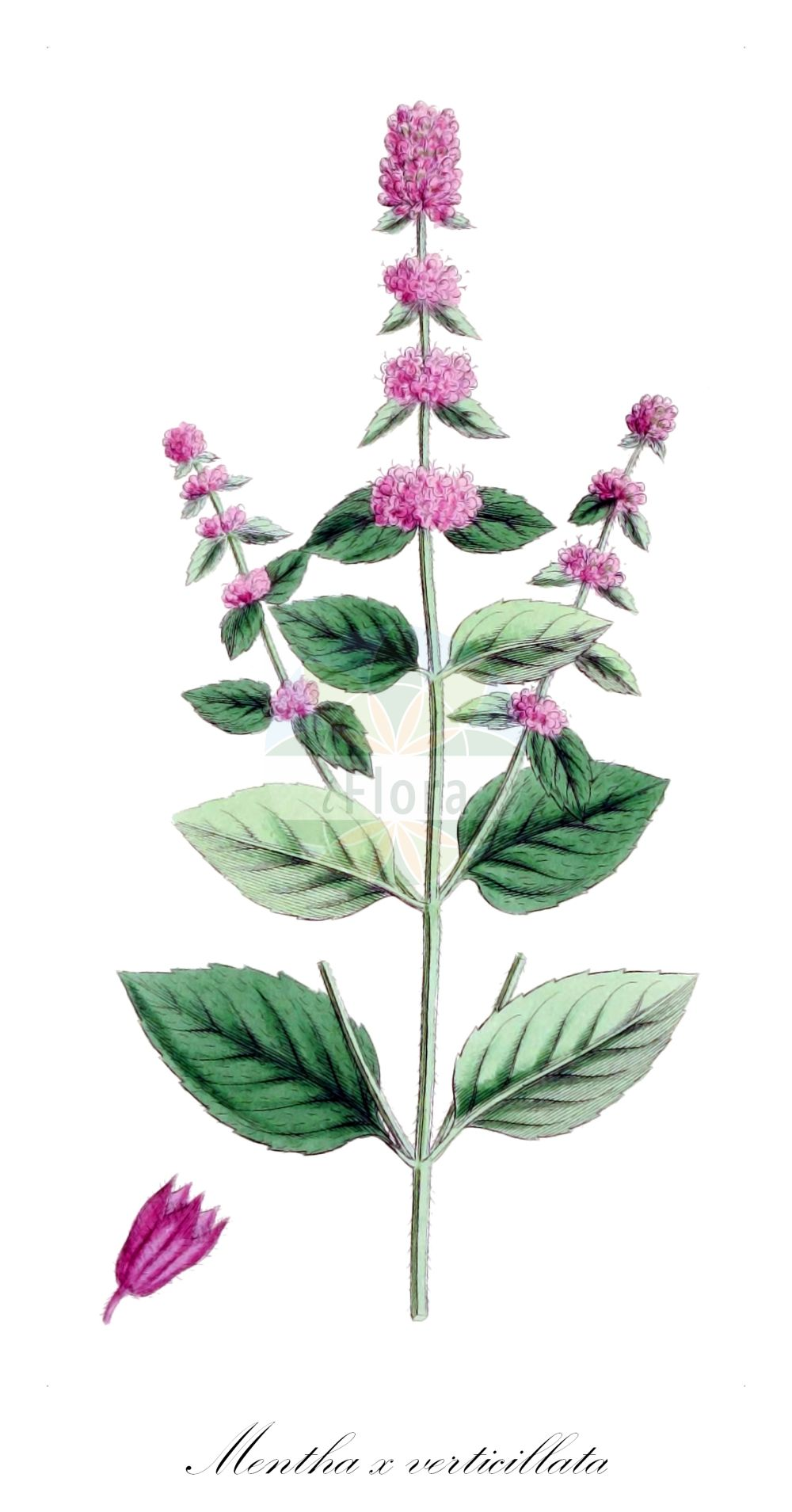 Historische Abbildung von Mentha x verticillata (Quirl-Minze - Whorled Mint). Das Bild zeigt Blatt, Bluete, Frucht und Same. ---- Historical Drawing of Mentha x verticillata (Quirl-Minze - Whorled Mint).The image is showing leaf, flower, fruit and seed.(Mentha x verticillata,Quirl-Minze,Whorled Mint,Mentha,Minze,Mint,Lamiaceae,Lippenbluetengewaechse;Lippenbluetler,Nettle family,Blatt,Bluete,Frucht,Same,leaf,flower,fruit,seed,Sowerby (1790-1813))