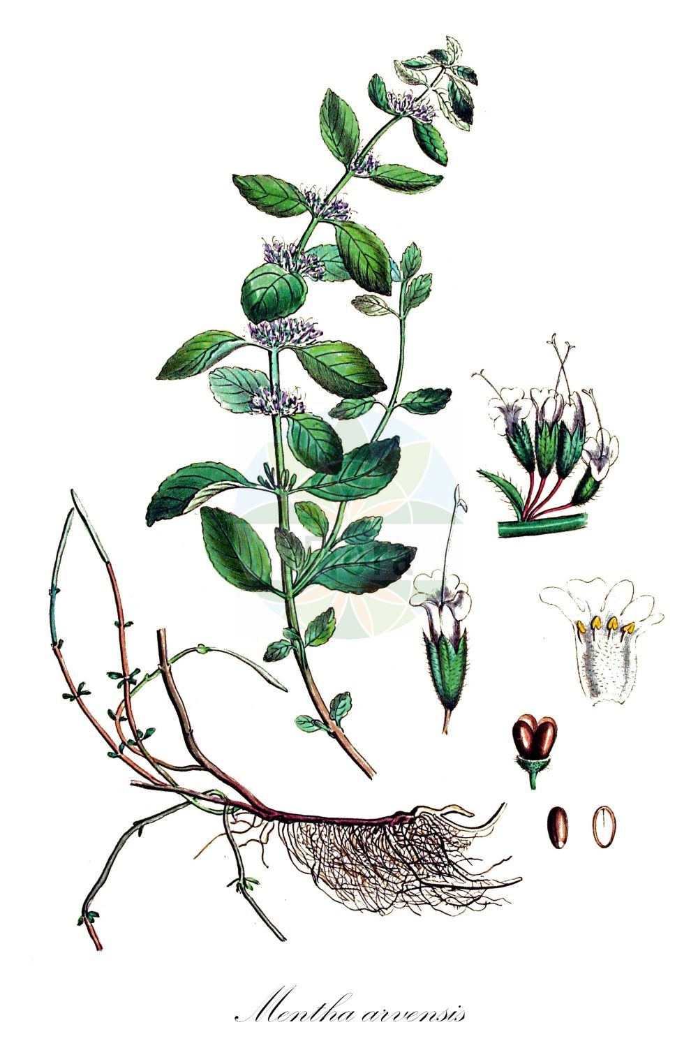Historische Abbildung von Mentha arvensis (Acker-Minze - Corn Mint). Das Bild zeigt Blatt, Bluete, Frucht und Same. ---- Historical Drawing of Mentha arvensis (Acker-Minze - Corn Mint).The image is showing leaf, flower, fruit and seed.(Mentha arvensis,Acker-Minze,Corn Mint,Calamintha arvensis,,Quirl-Minze,Wild Mint,Field Mint,Mentha,Minze,Mint,Lamiaceae,Lippenbluetengewaechse;Lippenbluetler,Nettle family,Blatt,Bluete,Frucht,Same,leaf,flower,fruit,seed,Kops (1800-1934))