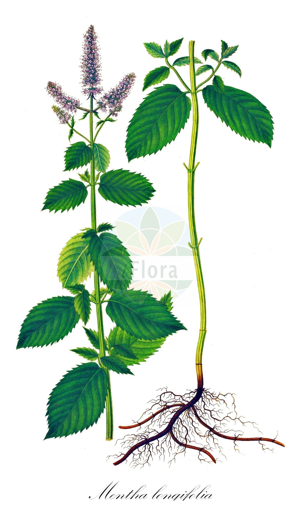 Historische Abbildung von Mentha longifolia (Rossminze - Horse Mint). Das Bild zeigt Blatt, Bluete, Frucht und Same. ---- Historical Drawing of Mentha longifolia (Rossminze - Horse Mint).The image is showing leaf, flower, fruit and seed.(Mentha longifolia,Rossminze,Horse Mint,Mentha spicata var. longifolia,Mentha,Minze,Mint,Lamiaceae,Lippenbluetengewaechse;Lippenbluetler,Nettle family,Blatt,Bluete,Frucht,Same,leaf,flower,fruit,seed,Oeder (1761-1883))