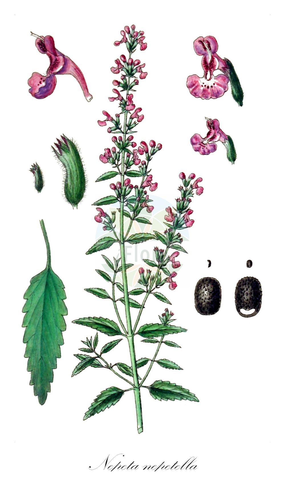 Historische Abbildung von Nepeta nepetella. Das Bild zeigt Blatt, Bluete, Frucht und Same. ---- Historical Drawing of Nepeta nepetella.The image is showing leaf, flower, fruit and seed.(Nepeta nepetella,Cataria nepetella,Glechoma nepetella,,Nepeta,Katzenminze,Catnip,Lamiaceae,Lippenbluetengewaechse;Lippenbluetler,Nettle family,Blatt,Bluete,Frucht,Same,leaf,flower,fruit,seed,Sturm (1796f))