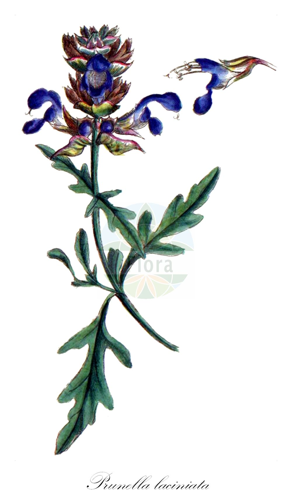 Historische Abbildung von Prunella laciniata (Weisse Braunelle - Cut-leaved Selfheal). Das Bild zeigt Blatt, Bluete, Frucht und Same. ---- Historical Drawing of Prunella laciniata (Weisse Braunelle - Cut-leaved Selfheal).The image is showing leaf, flower, fruit and seed.(Prunella laciniata,Weisse Braunelle,Cut-leaved Selfheal,Prunella afriquena,Prunella alba,Prunella integerrima,Prunella sulphurea,Prunella vulgaris var. laciniata,Schlitzblaettrige Braunelle,Schlitzblaettrige Brunelle,Weisse Brunelle,Cutleaf Selfheal,White Selfheal,Prunella,Braunelle,Selfheal,Lamiaceae,Lippenbluetengewaechse;Lippenbluetler,Nettle family,Blatt,Bluete,Frucht,Same,leaf,flower,fruit,seed,Bulliard (1776-1781))