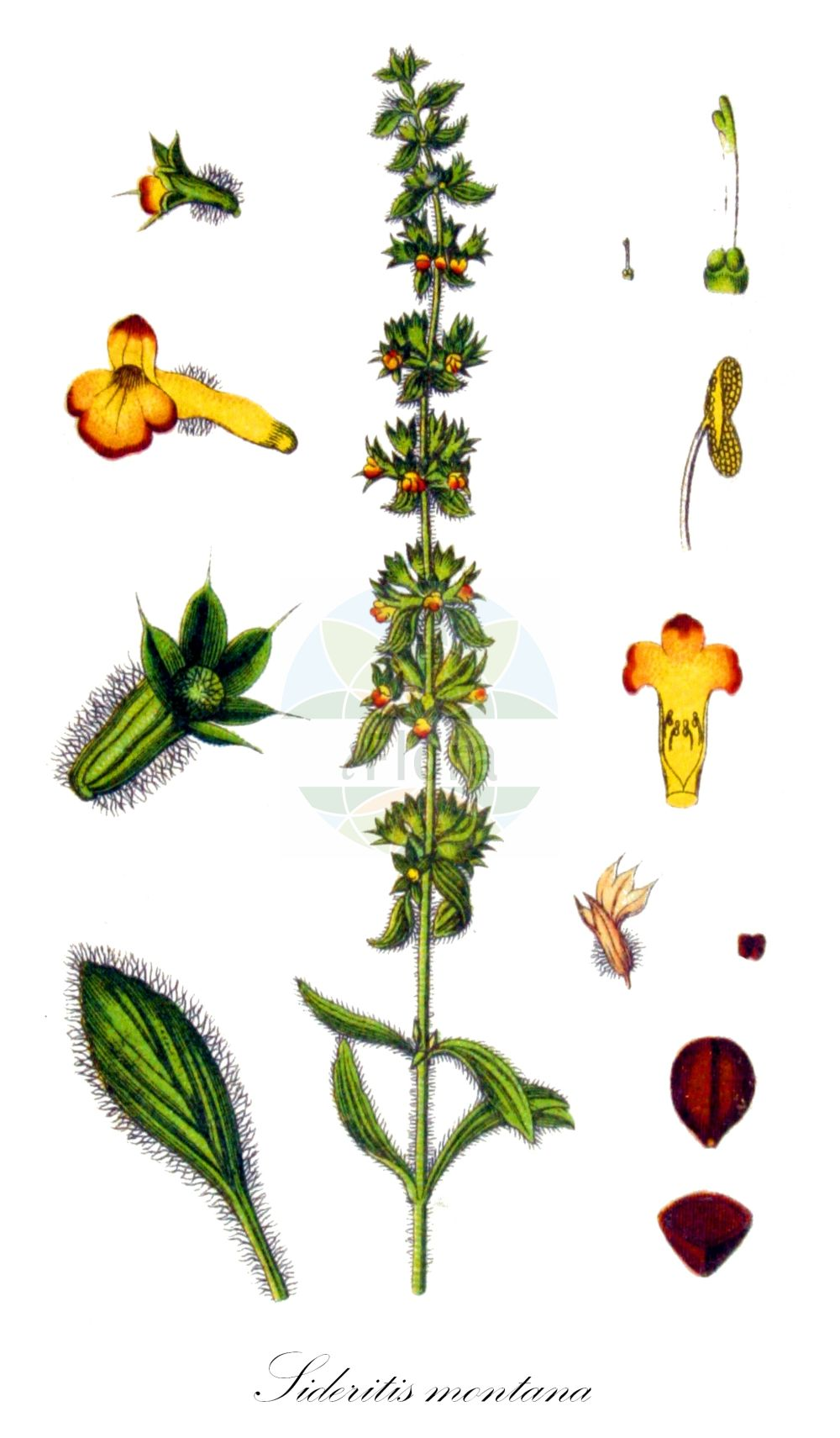 Historische Abbildung von Sideritis montana (Berg-Gliedkraut - Mountain Ironwort). Das Bild zeigt Blatt, Bluete, Frucht und Same. ---- Historical Drawing of Sideritis montana (Berg-Gliedkraut - Mountain Ironwort).The image is showing leaf, flower, fruit and seed.(Sideritis montana,Berg-Gliedkraut,Mountain Ironwort,Burgsdorfia montana,Hesiodia montana,,Field Ironwort,Sideritis,Gliedkraut,Ironwort,Lamiaceae,Lippenbluetengewaechse;Lippenbluetler,Nettle family,Blatt,Bluete,Frucht,Same,leaf,flower,fruit,seed,Sturm (1796f))