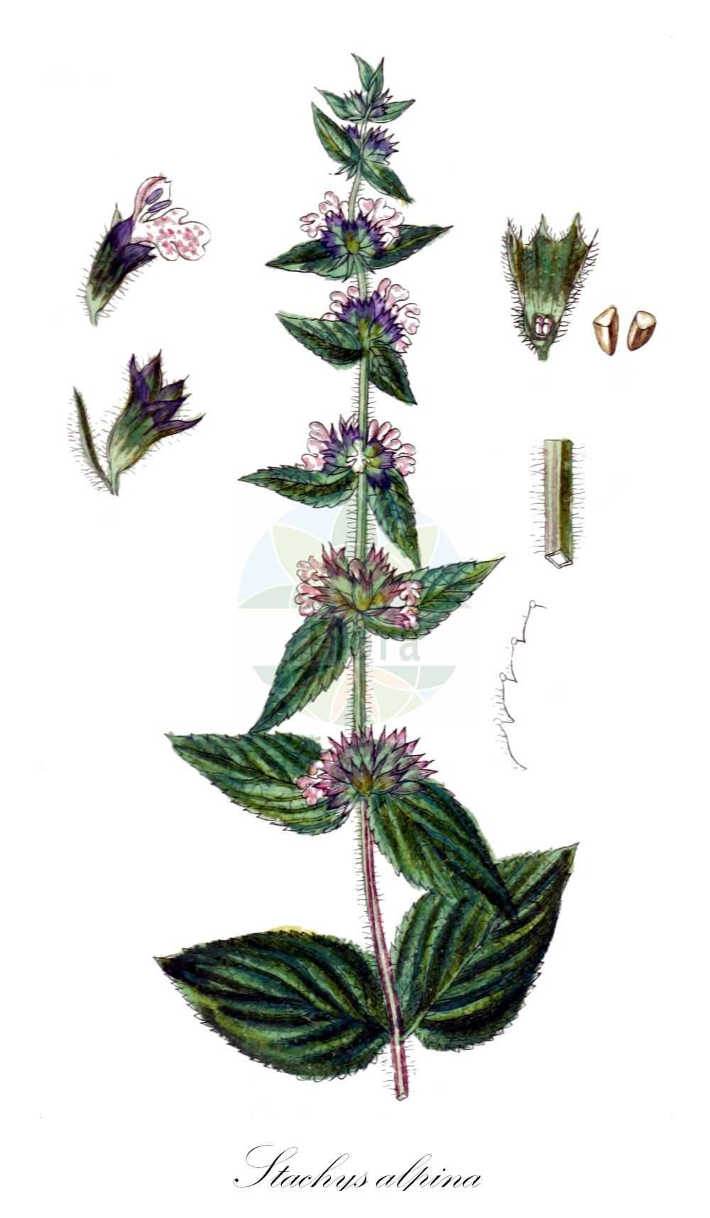 Historische Abbildung von Stachys alpina (Alpen-Ziest - Limestone Woundwort). Das Bild zeigt Blatt, Bluete, Frucht und Same. ---- Historical Drawing of Stachys alpina (Alpen-Ziest - Limestone Woundwort).The image is showing leaf, flower, fruit and seed.(Stachys alpina,Alpen-Ziest,Limestone Woundwort,Eriostomum alpinum,,Alpine Stachys,Alpine Woundwort,Stachys,Ziest,Hedgenettle,Lamiaceae,Lippenbluetengewaechse;Lippenbluetler,Nettle family,Blatt,Bluete,Frucht,Same,leaf,flower,fruit,seed,Sturm (1796f))