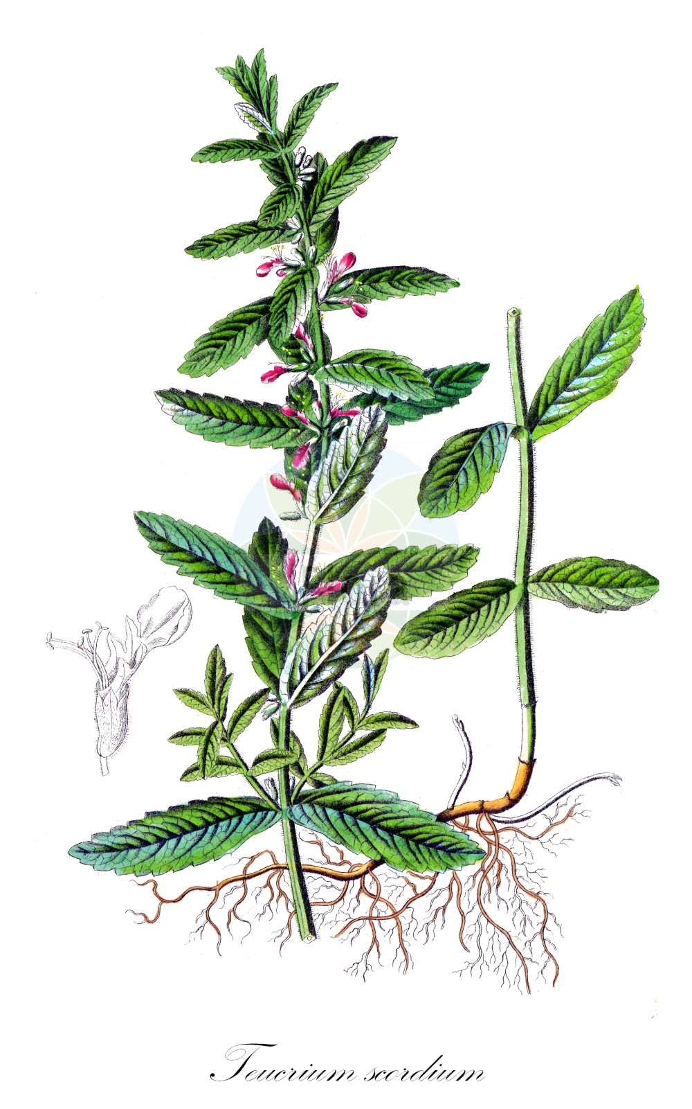 Historische Abbildung von Teucrium scordium (Lauch-Gamander - Water Germander). Das Bild zeigt Blatt, Bluete, Frucht und Same. ---- Historical Drawing of Teucrium scordium (Lauch-Gamander - Water Germander).The image is showing leaf, flower, fruit and seed.(Teucrium scordium,Lauch-Gamander,Water Germander,Chamaedrys scordium,,Teucrium,Gamander,Germander,Lamiaceae,Lippenbluetengewaechse;Lippenbluetler,Nettle family,Blatt,Bluete,Frucht,Same,leaf,flower,fruit,seed,Dietrich (1833-1844))