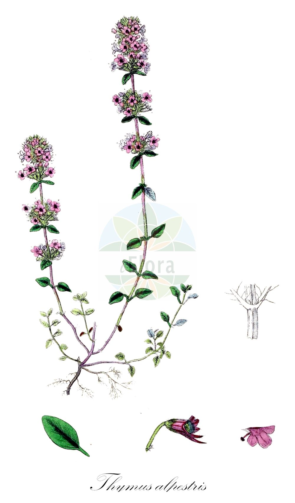 Historische Abbildung von Thymus alpestris (Hochgebirgs-Thymian - Wild Thyme). Das Bild zeigt Blatt, Bluete, Frucht und Same. ---- Historical Drawing of Thymus alpestris (Hochgebirgs-Thymian - Wild Thyme).The image is showing leaf, flower, fruit and seed.(Thymus alpestris,Hochgebirgs-Thymian,Wild Thyme,Thymus subalpestris,Alpine Thyme,Thymus,Thymian,Thyme,Lamiaceae,Lippenbluetengewaechse;Lippenbluetler,Nettle family,Blatt,Bluete,Frucht,Same,leaf,flower,fruit,seed,Sowerby (1790-1813))