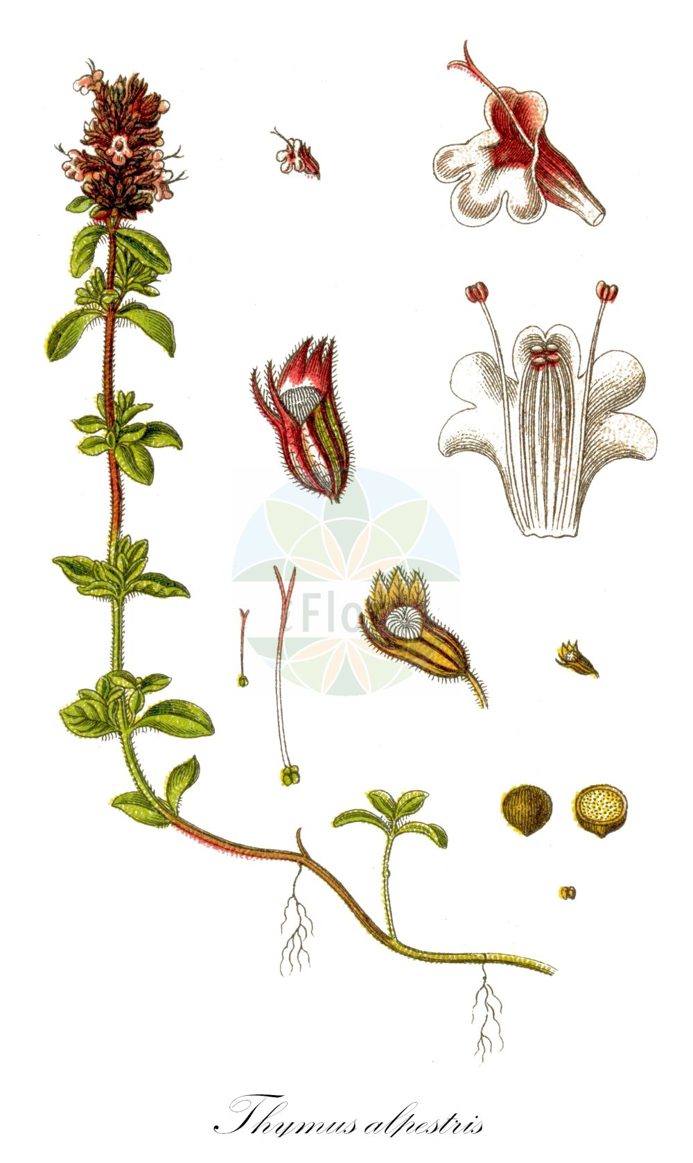 Historische Abbildung von Thymus alpestris (Hochgebirgs-Thymian - Wild Thyme). Das Bild zeigt Blatt, Bluete, Frucht und Same. ---- Historical Drawing of Thymus alpestris (Hochgebirgs-Thymian - Wild Thyme).The image is showing leaf, flower, fruit and seed.(Thymus alpestris,Hochgebirgs-Thymian,Wild Thyme,Thymus subalpestris,Alpine Thyme,Thymus,Thymian,Thyme,Lamiaceae,Lippenbluetengewaechse;Lippenbluetler,Nettle family,Blatt,Bluete,Frucht,Same,leaf,flower,fruit,seed,Sturm (1796f))